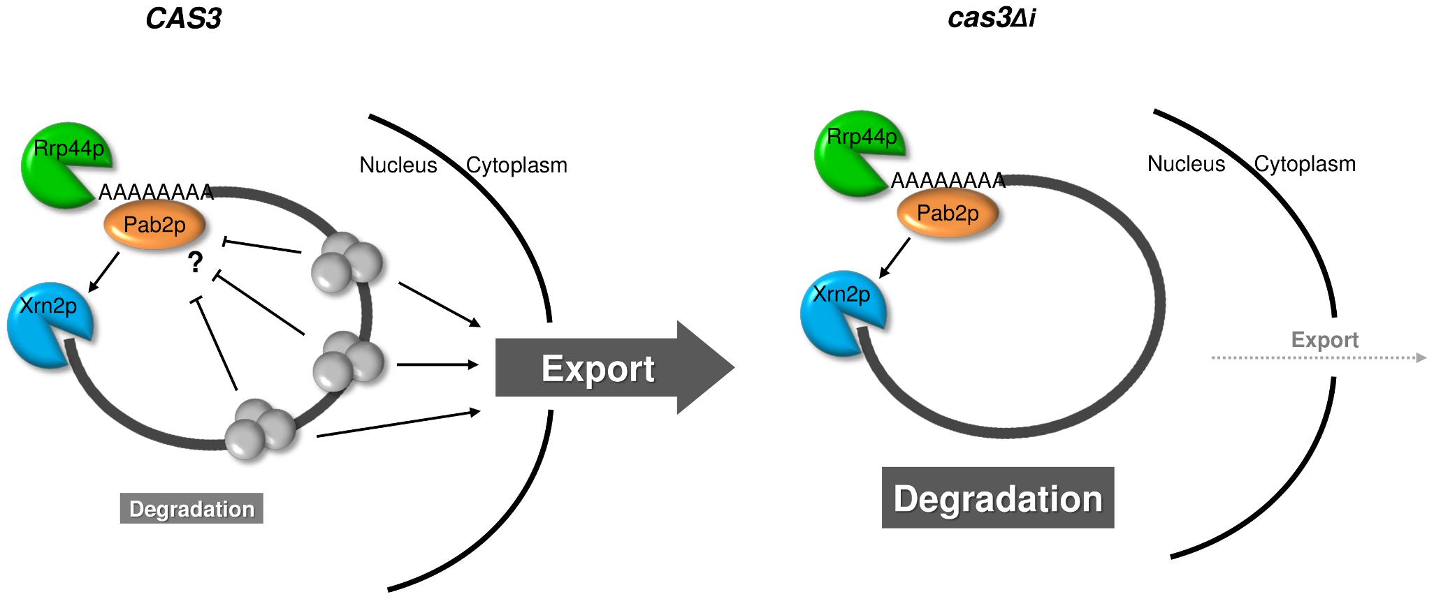 Model for intron-dependent gene expression regulation in <i>C. neoformans</i>.