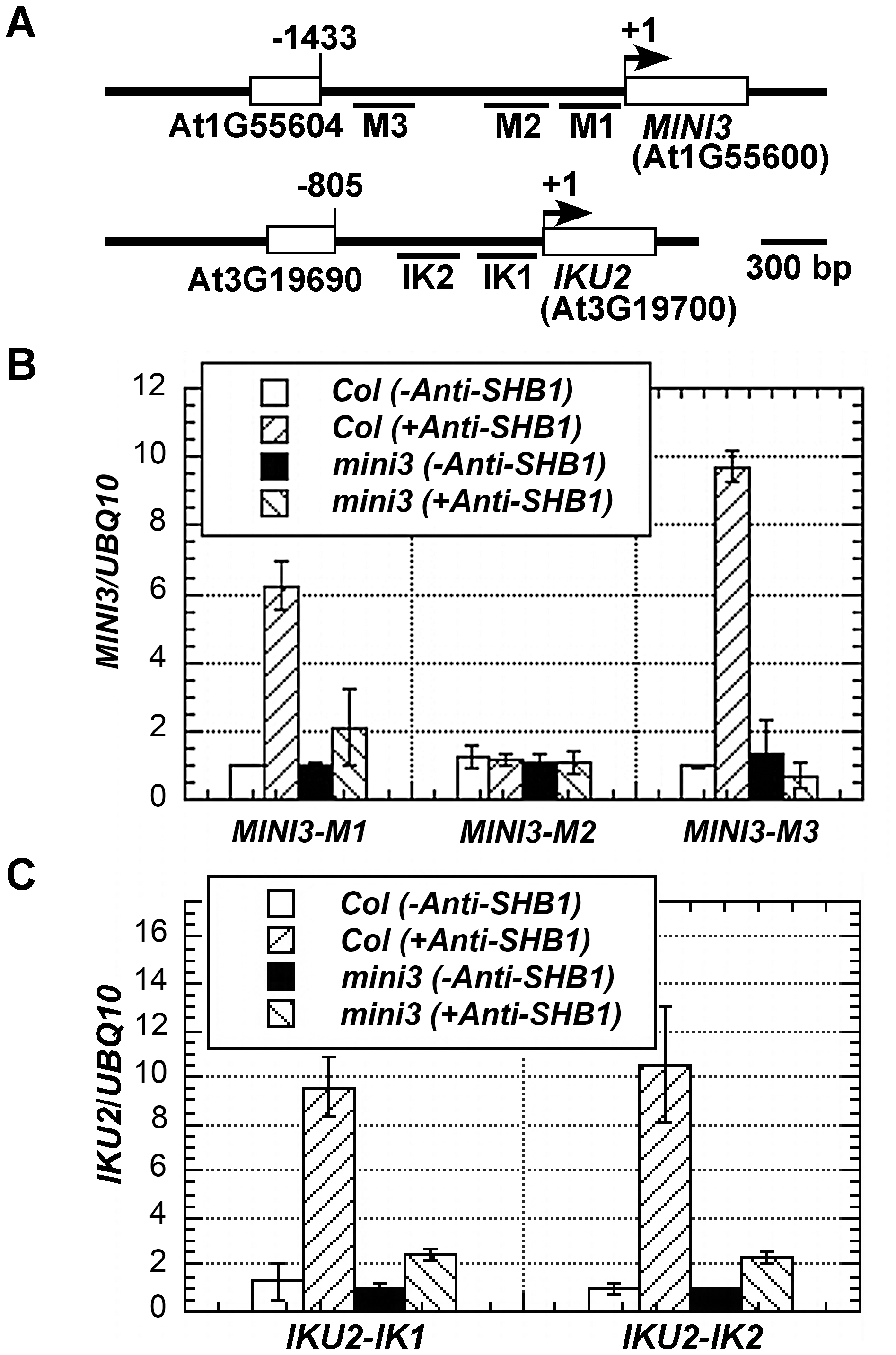Association of SHB1 with <i>MINI3</i> and <i>IKU2</i> promoters requires MINI3.