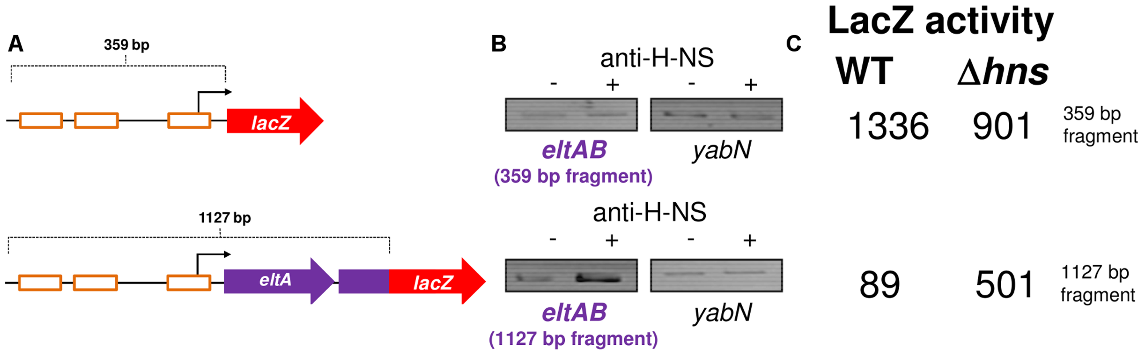 The <i>eltAB</i> promoter is directly repressed by H-NS.