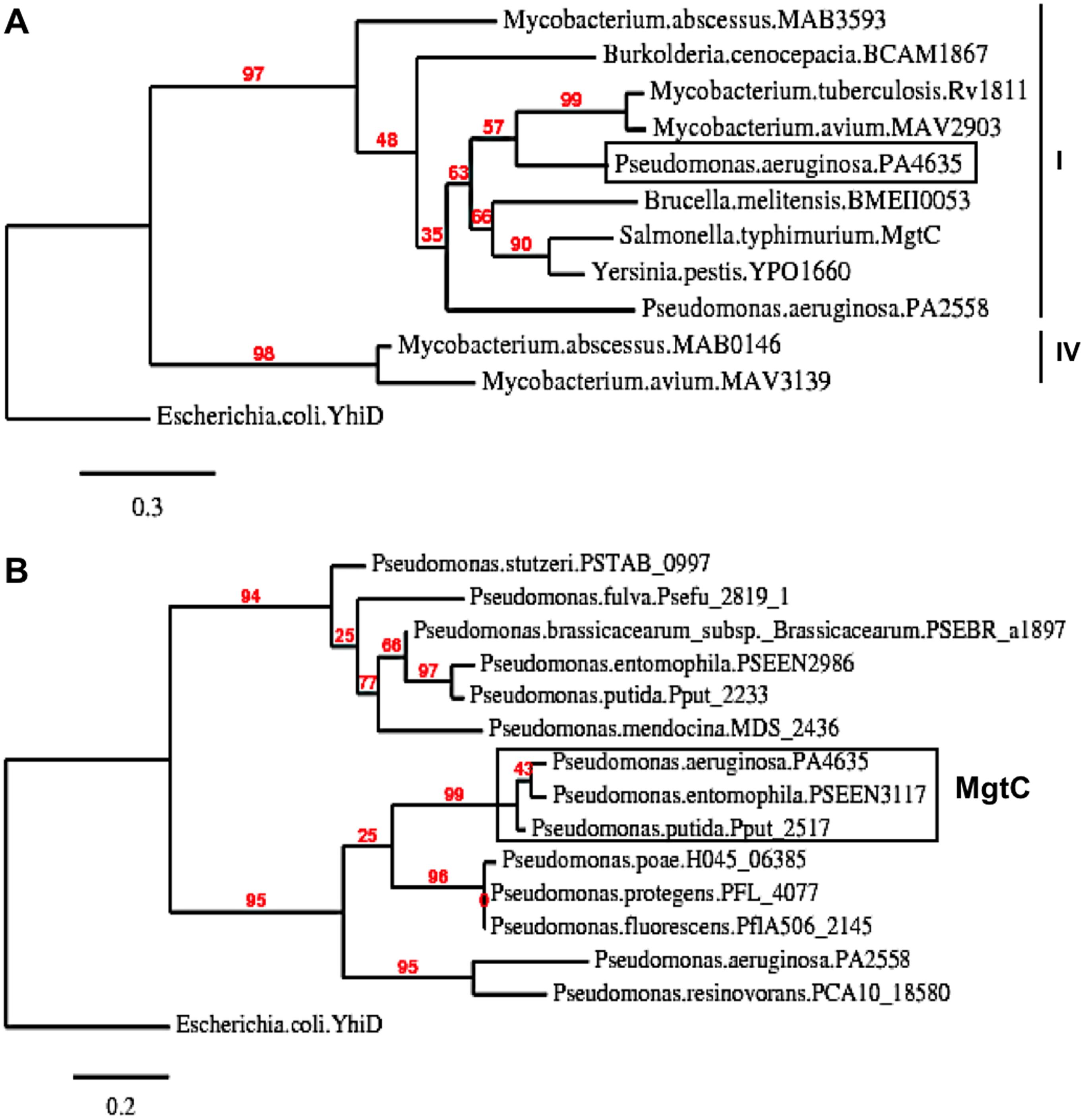 Phylogenetic analysis of <i>Pseudomonas</i> MgtC-like proteins.