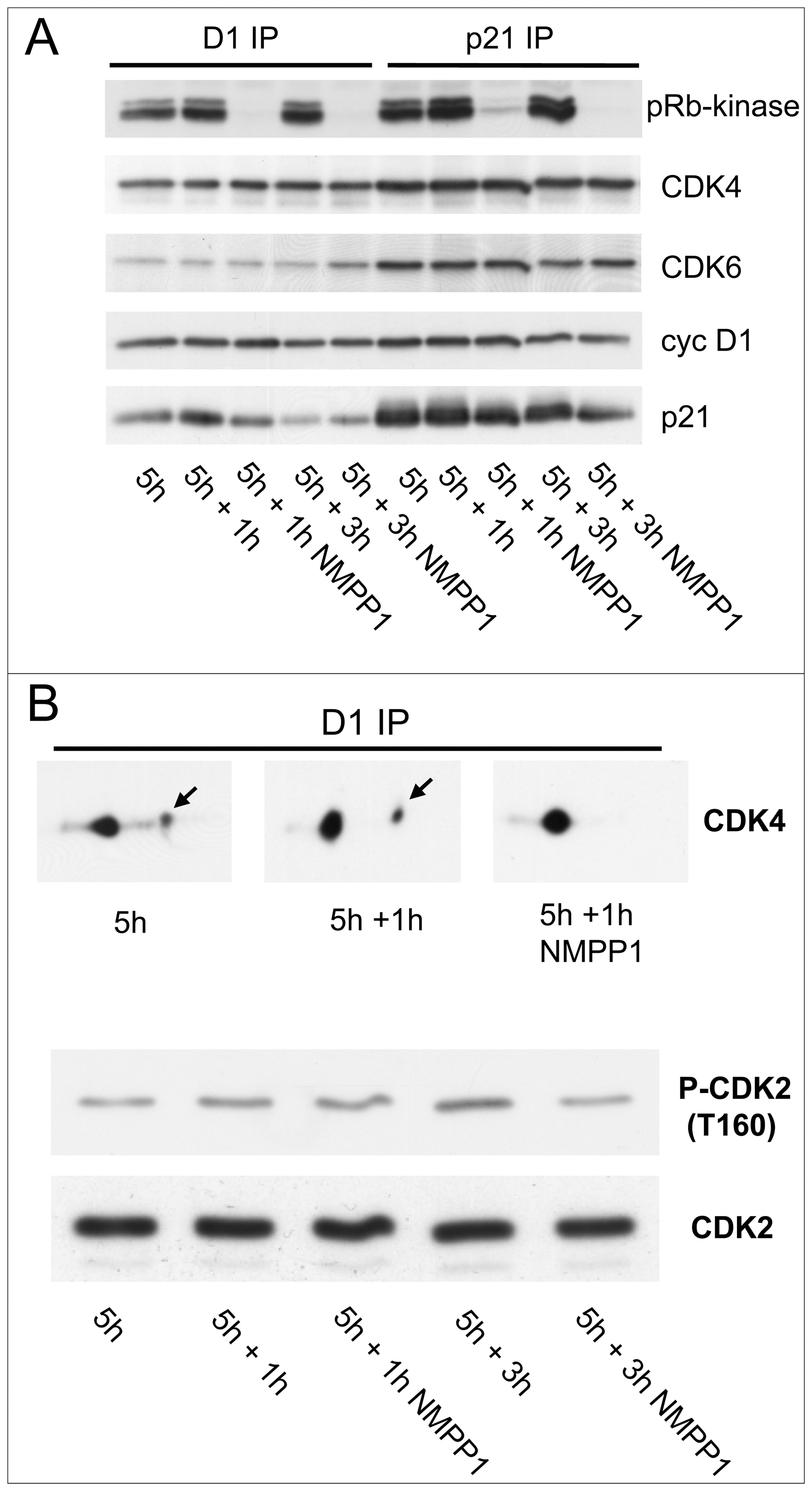 Effect of acute inhibition of CDK7 by 1-NMPP1.