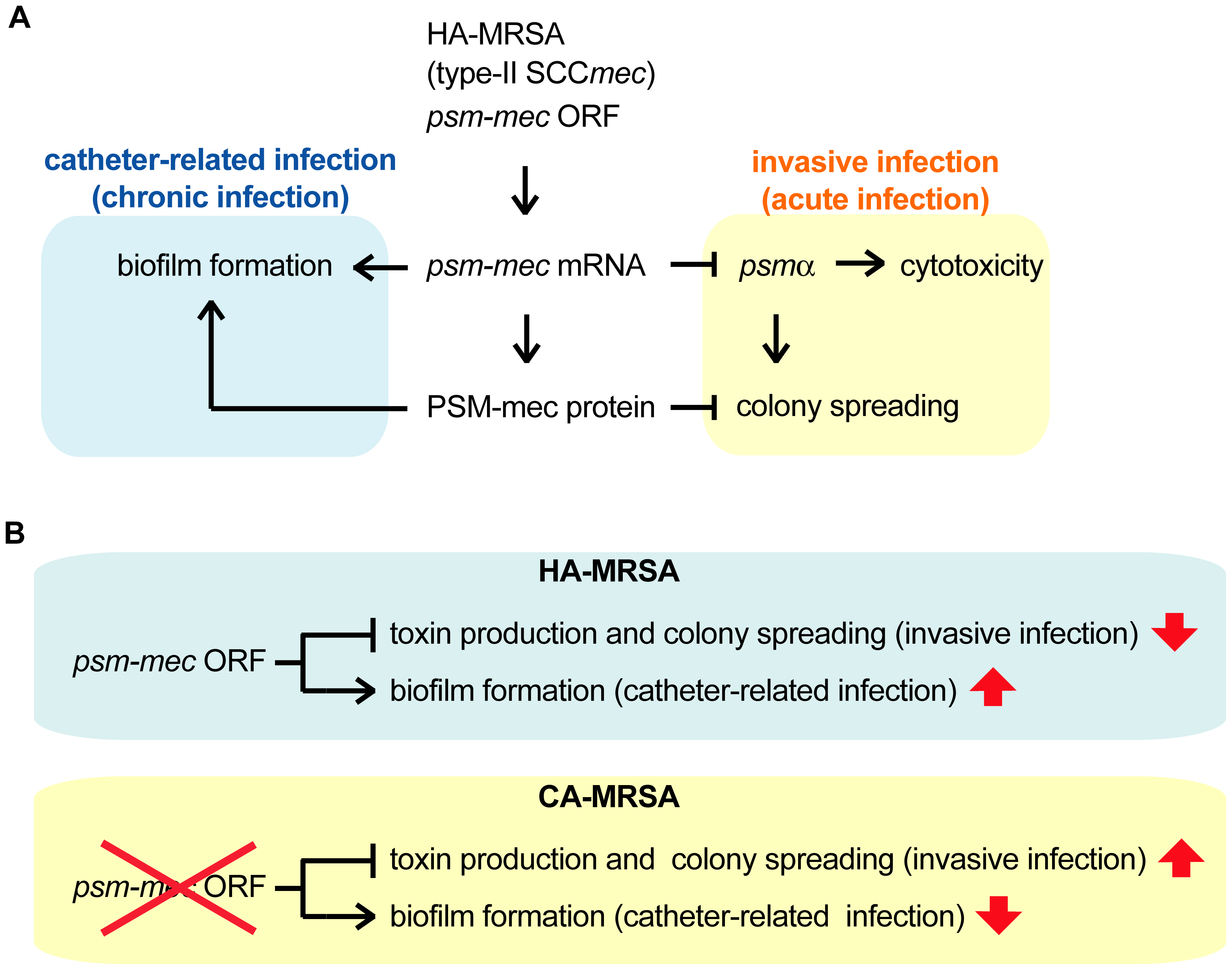 Model of the alteration of <i>S. aureus</i> virulence phenotype exerted by <i>psm-mec</i> mRNA and PSM-mec protein.