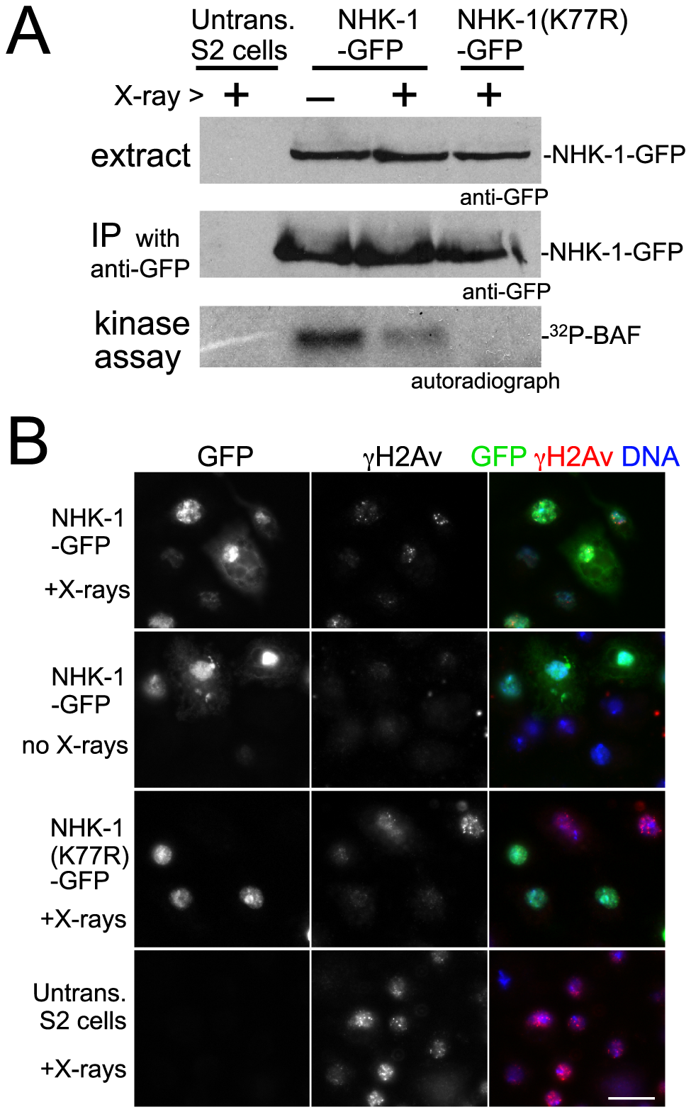 DSBs suppress NHK-1 activity in S2 cells.
