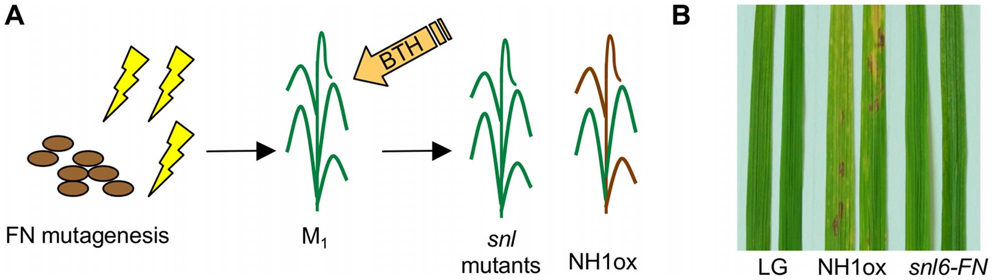 Identification of the <i>snl6-FN</i> mutant.