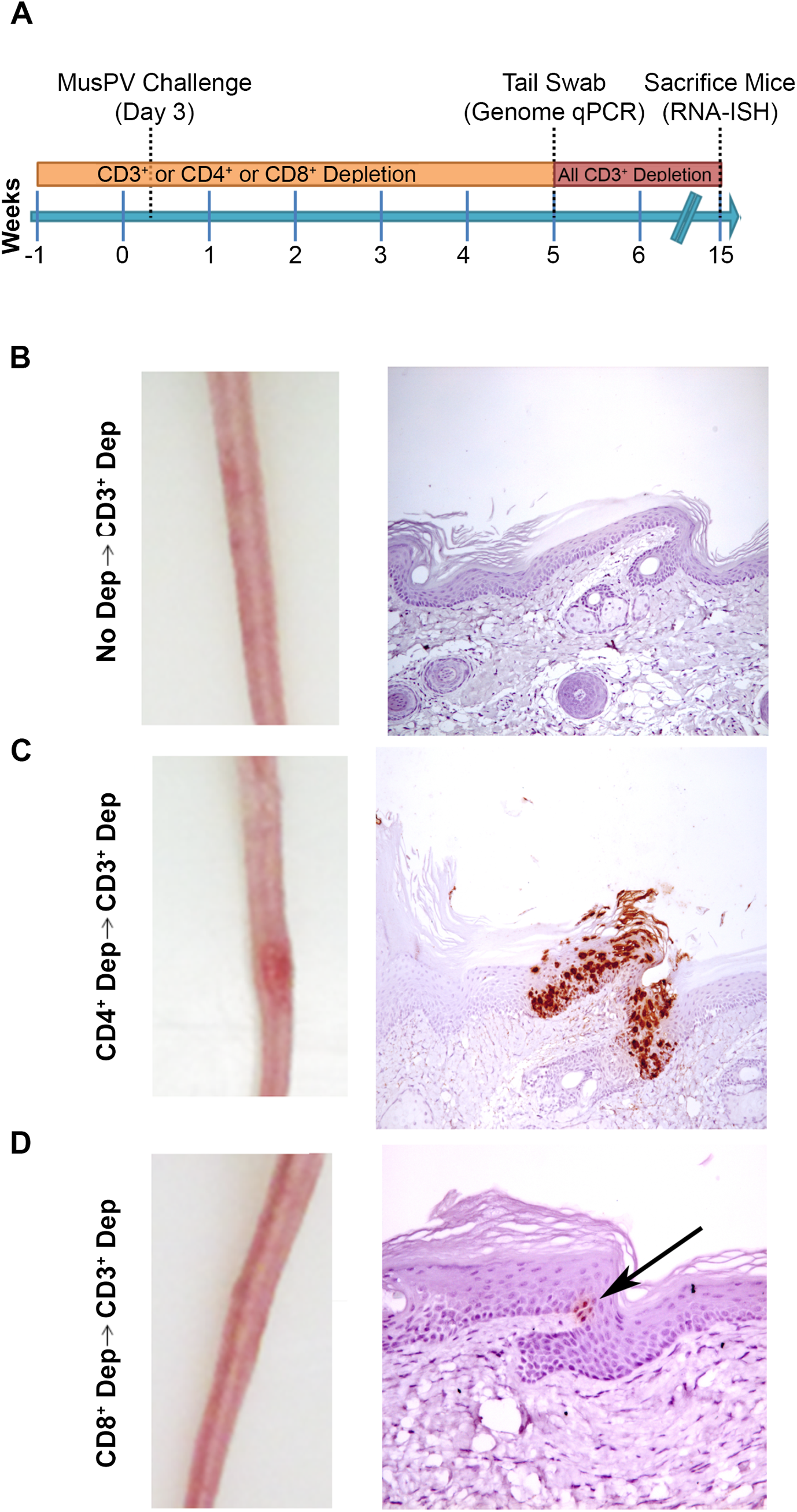 Re-activation of MusPV1 infection.