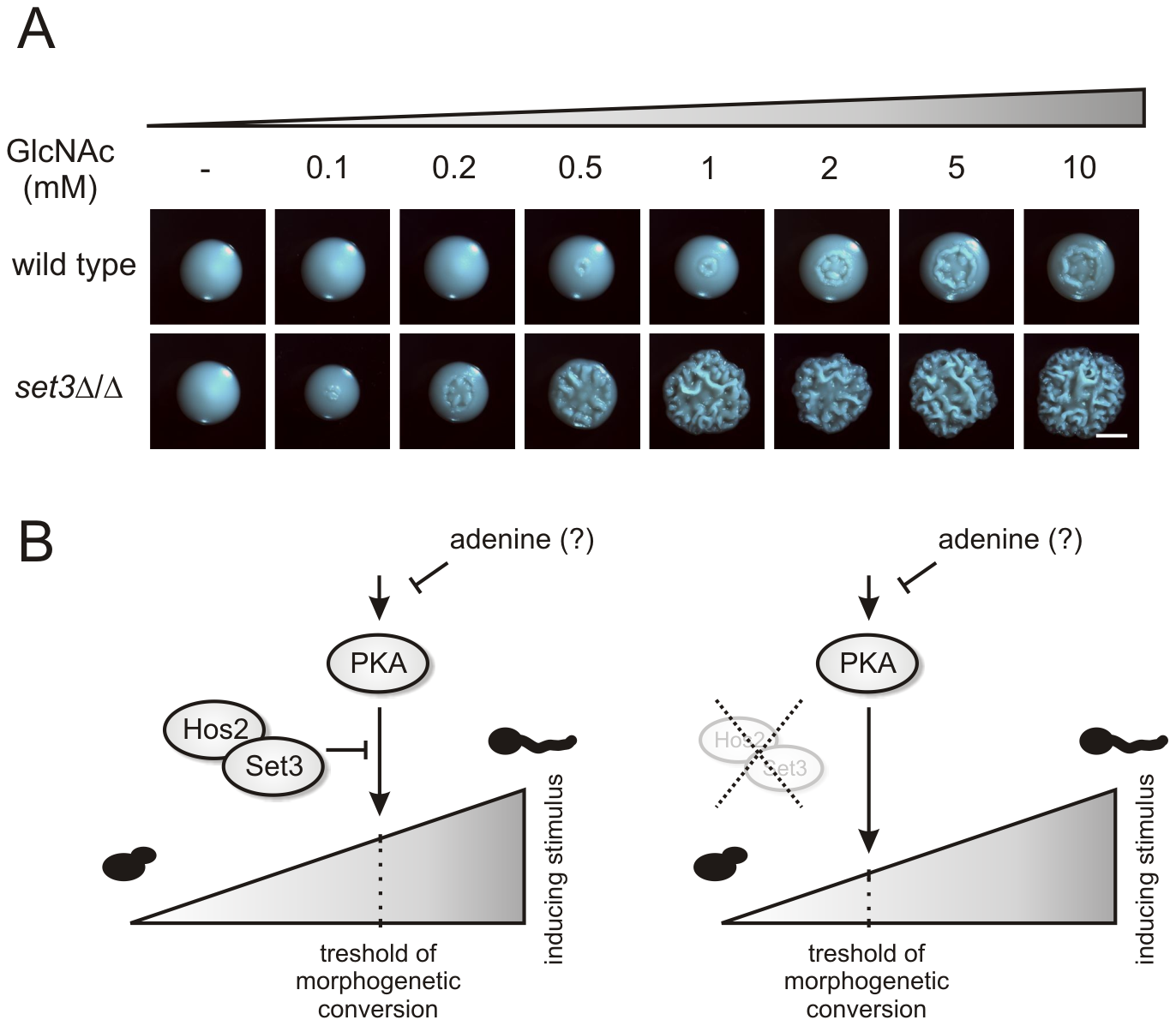 <i>set3</i>Δ/Δ cells are a hyperreactive to cAMP/PKA induction by GlcNAc.
