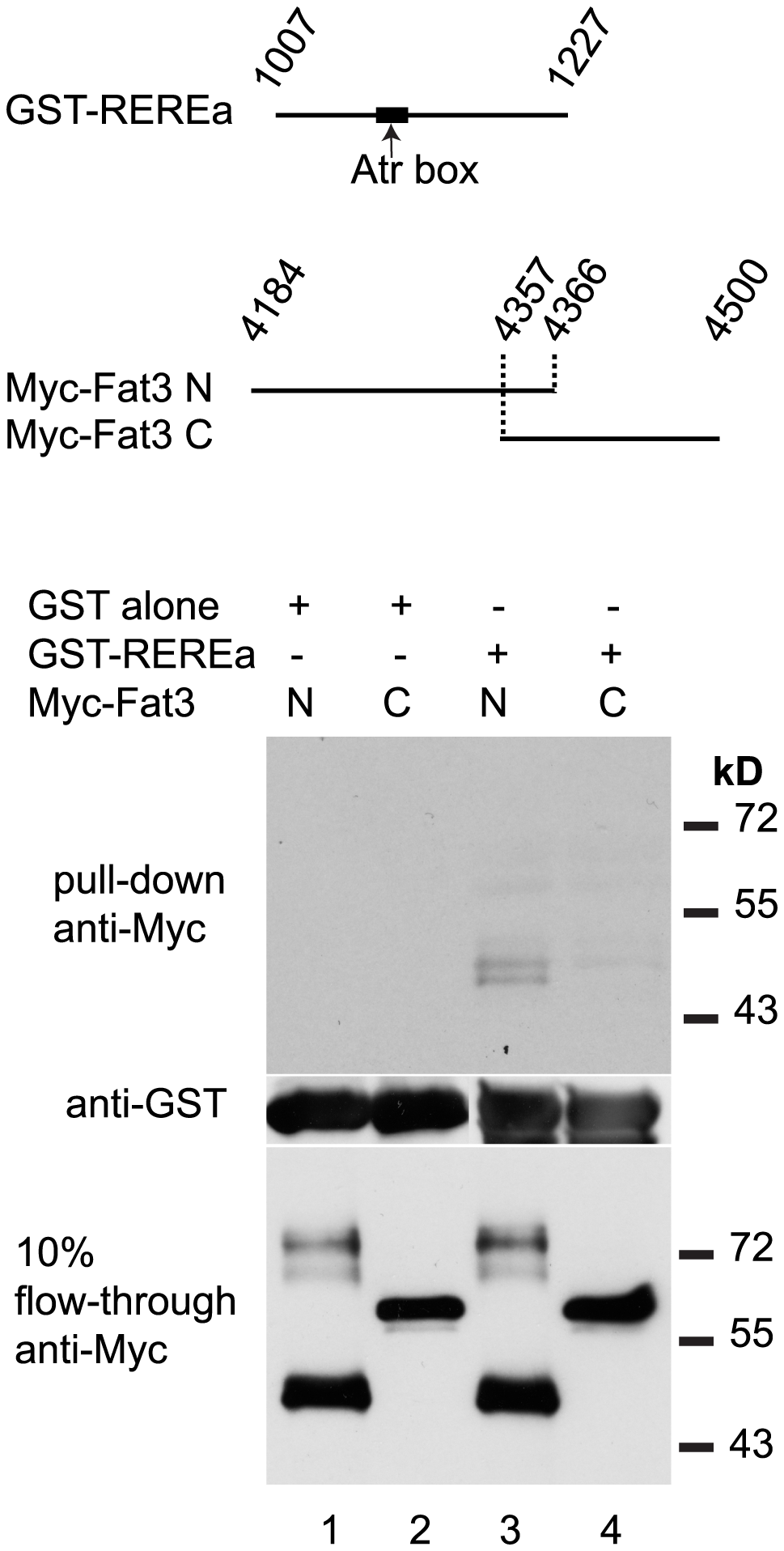 REREa and Fat3 bind each other in vitro.