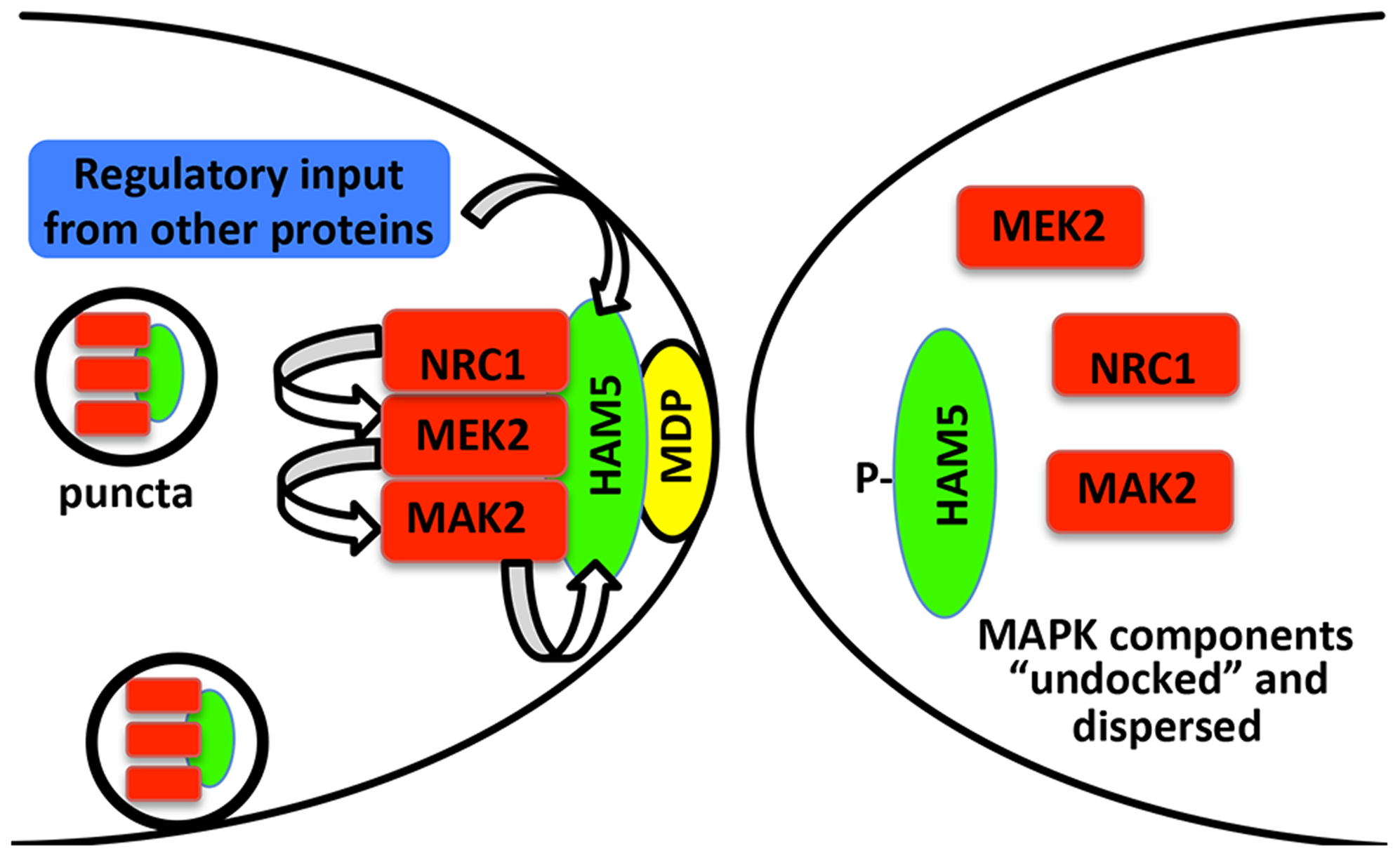 Model for HAM-5-MAK-2/MEK-2/NRC-1 function during chemotropic interactions.