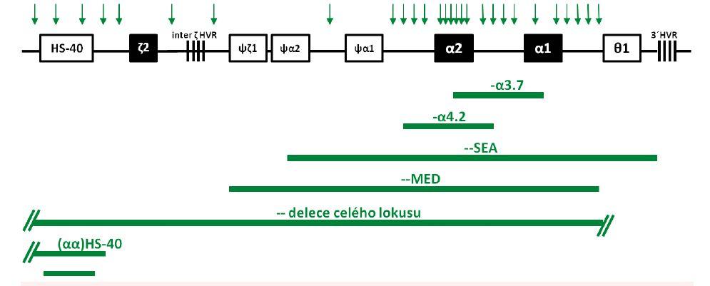 Schematické znázornění delecí <i>HBA</i> lokusu zjištěných v České republice u českých rodin a u rodin cizinců Delece – –<sup>MED</sup>, delece celého lokusu a různě dlouhé delece regulační oblasti HS-40 jsou u nás popsány poprvé v tomto sdělení. Vysvětlení genů a pseudogenů v lokusu – viz obr. 2A. HVR značí tzv. hypervariabilní oblasti v <i>HBA</i> lokusu. Vertikální šipky nad lokusem značí polohy MLPA prób použitých pro mapování delecí (viz Diagnóza a diagnostické metody).