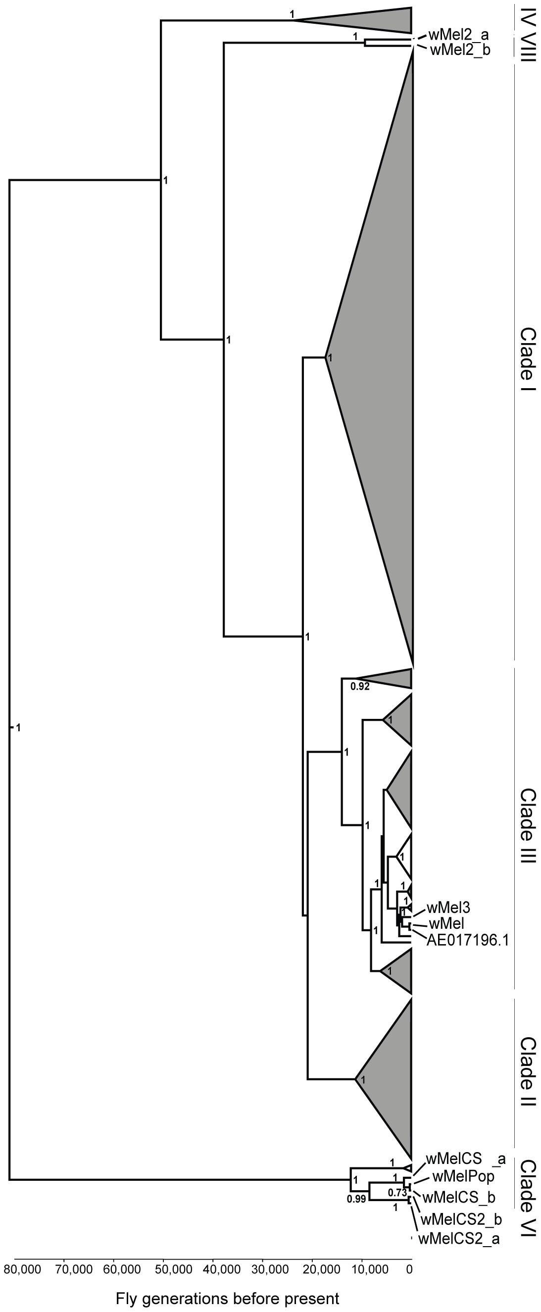 Phylogeny of wMel variants.