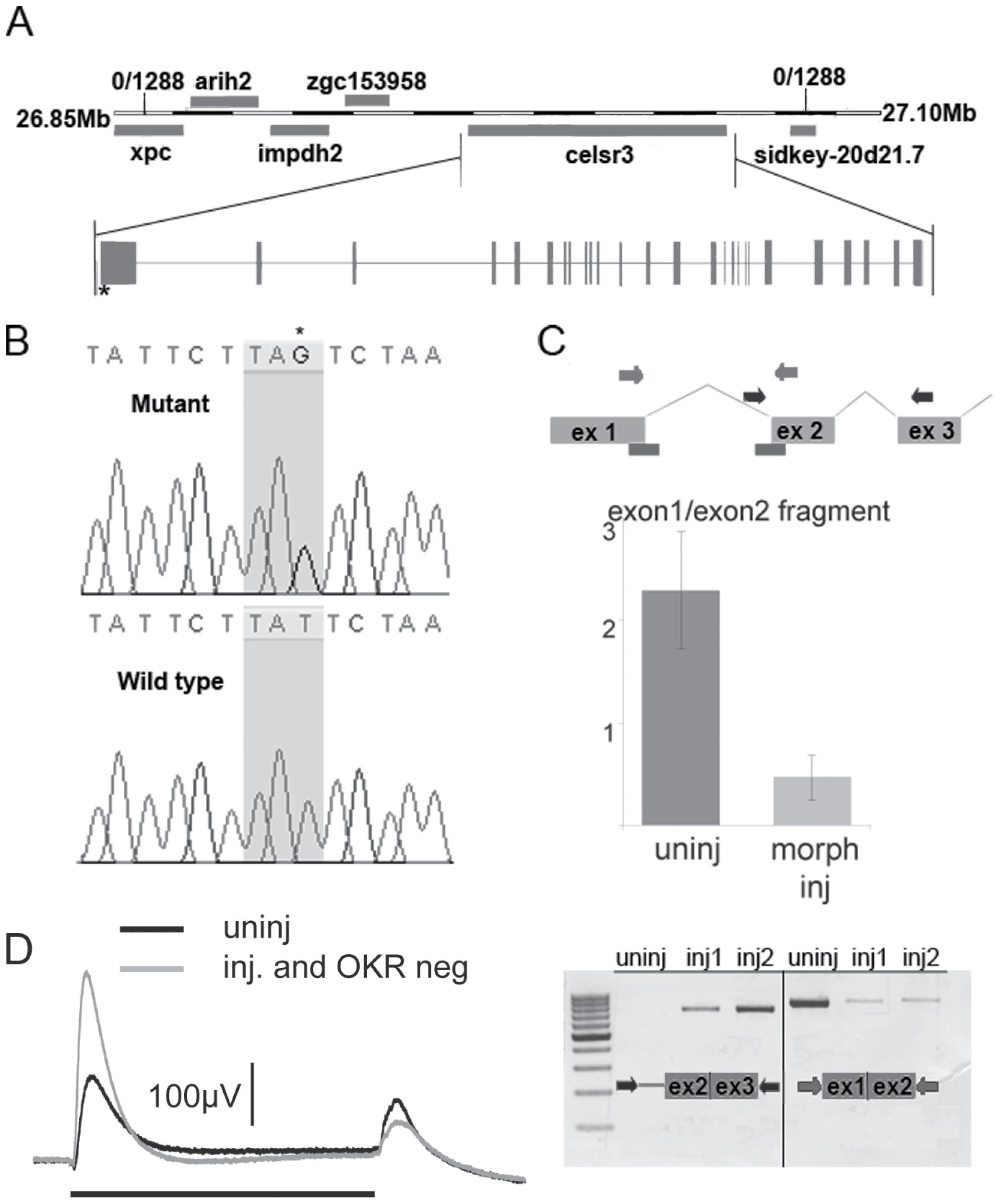 <i>zvm7<sup>w65</sup></i> has a mutation in <i>celsr3</i> gene.
