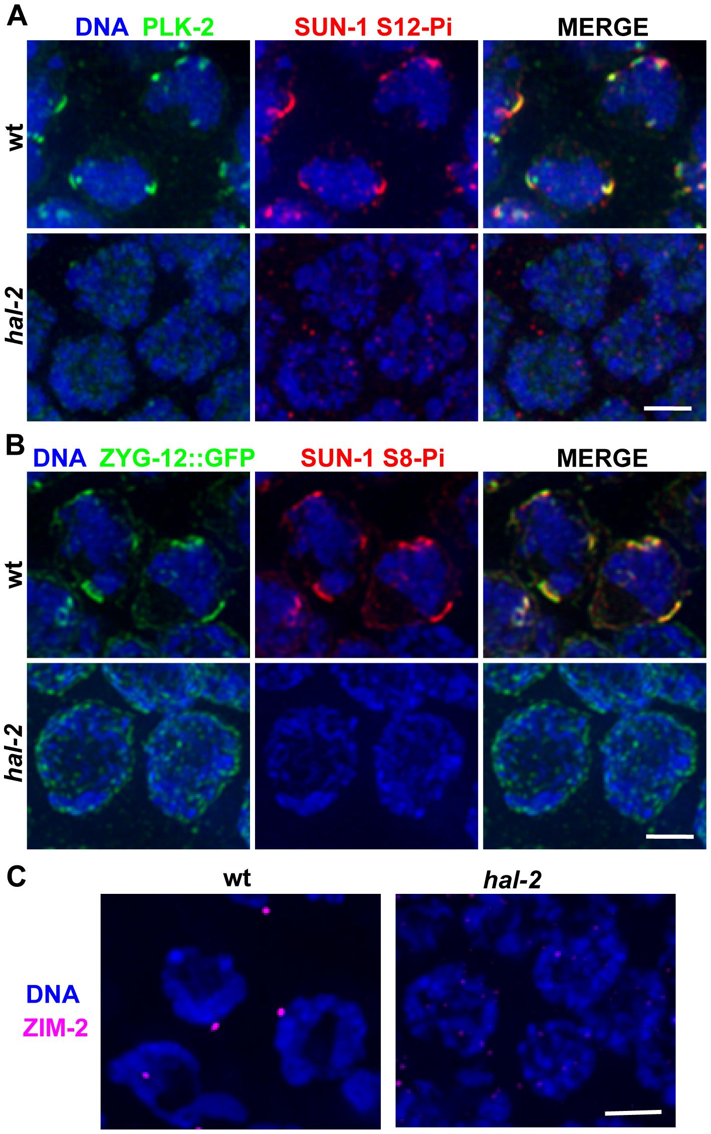 <i>hal-2</i> mutants lack multiple markers of PC-mediated chromosomal movement.