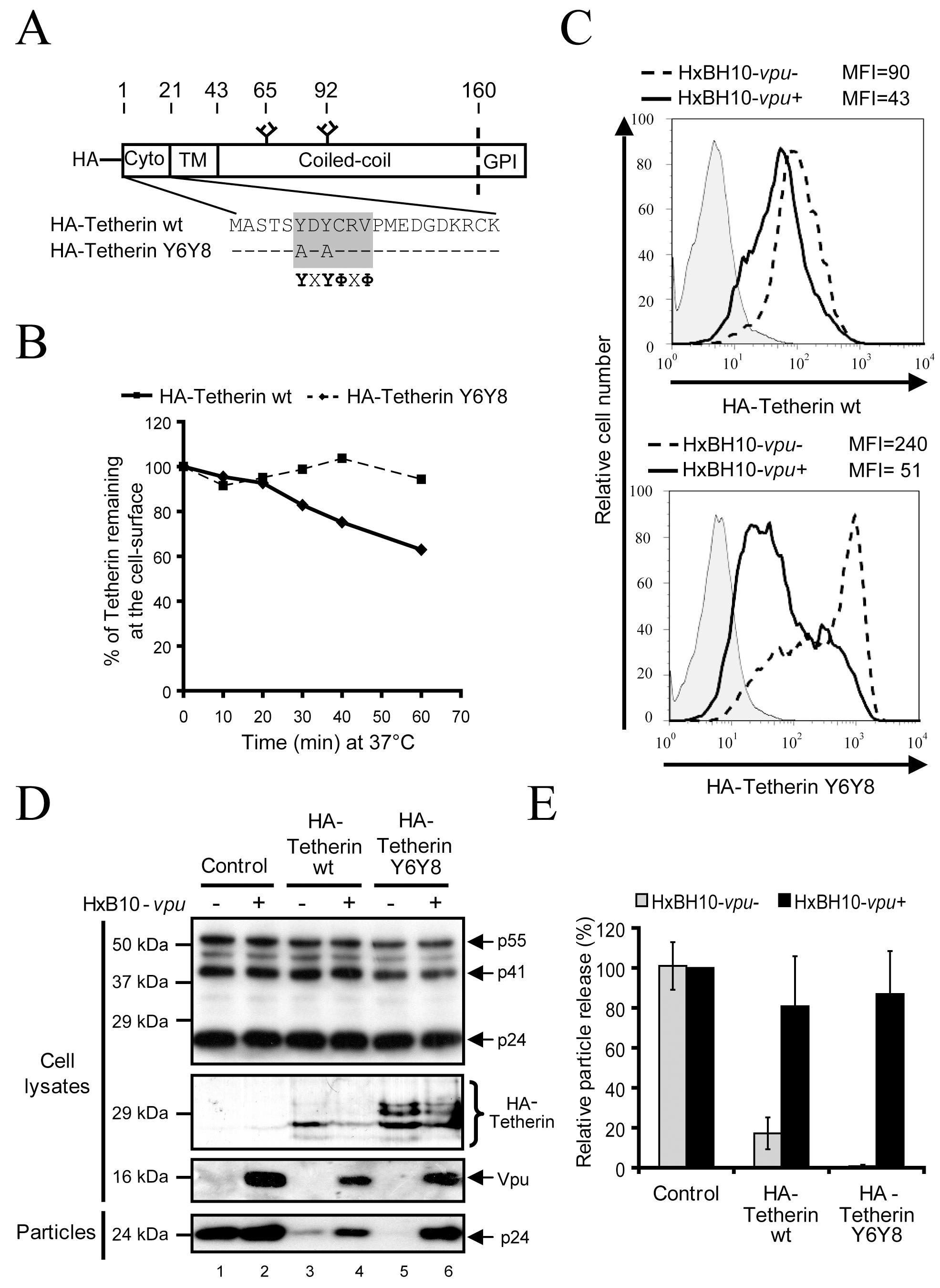 Mutation of Tetherin dual Tyrosine-based sorting motif does not affect sensitivity to Vpu.