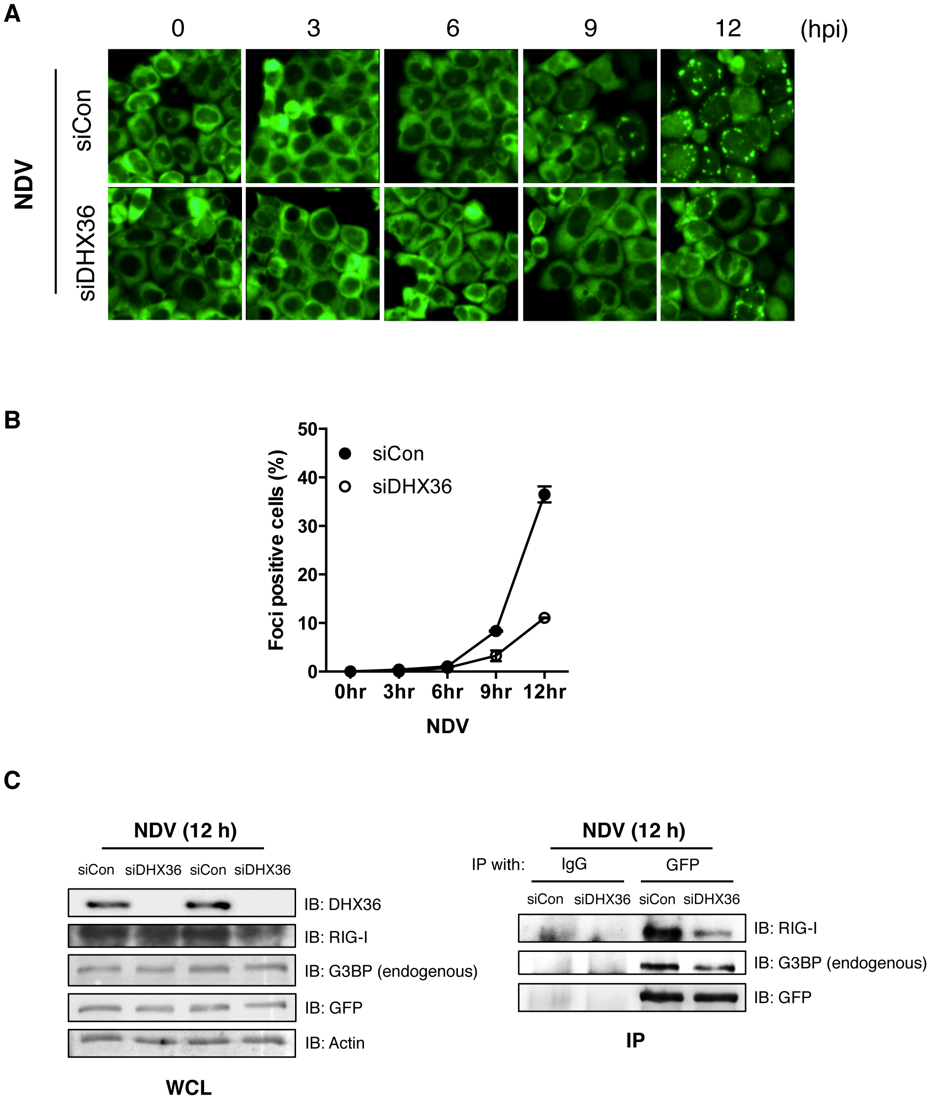 DHX36 is critical for virus-induced avSG formation.