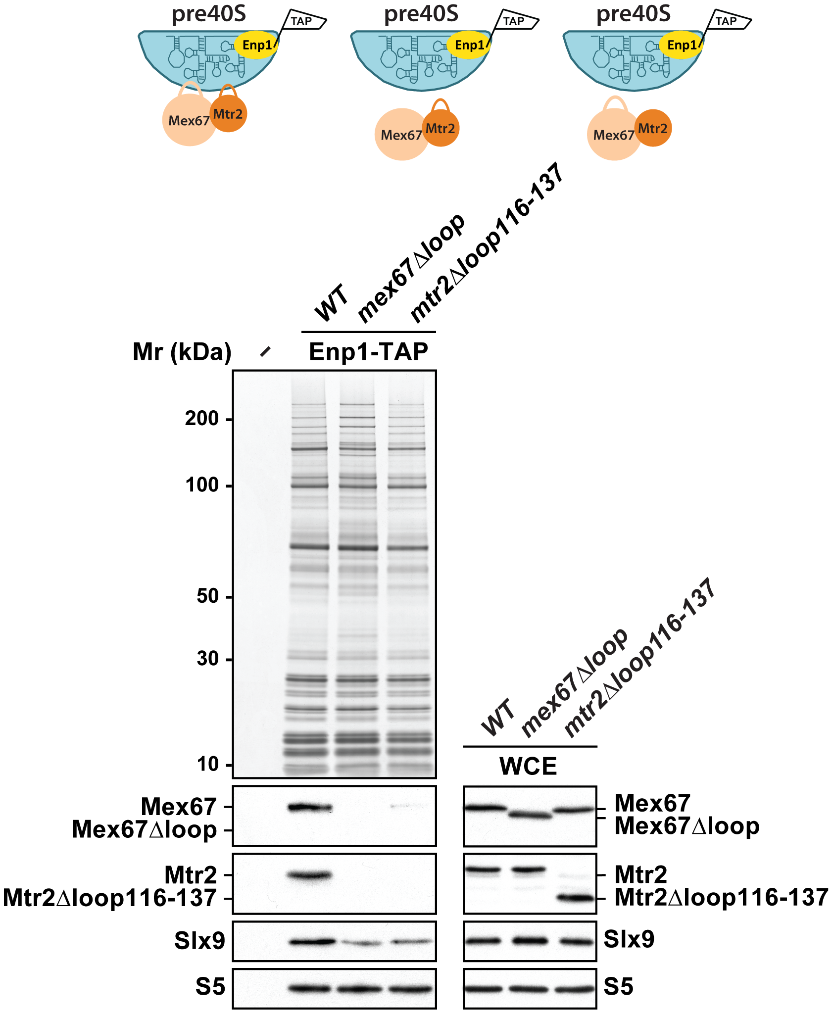 Mex67-Mtr2 bind pre40S subunits <i>via</i> loops emanating from their NTF2-like domains.