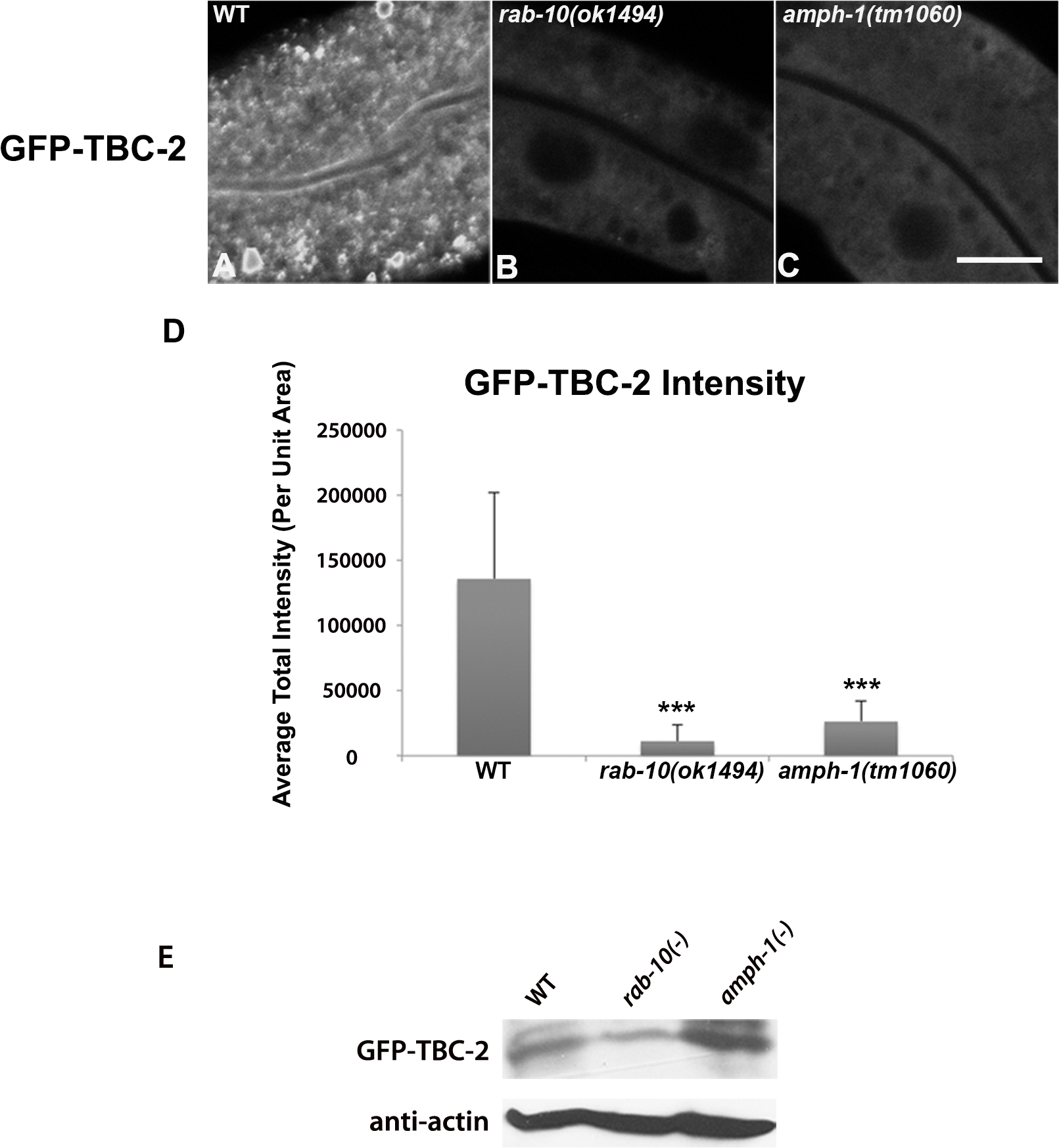 RAB-10 and AMPH-1 contribute to the endosome recruitment of TBC-2.