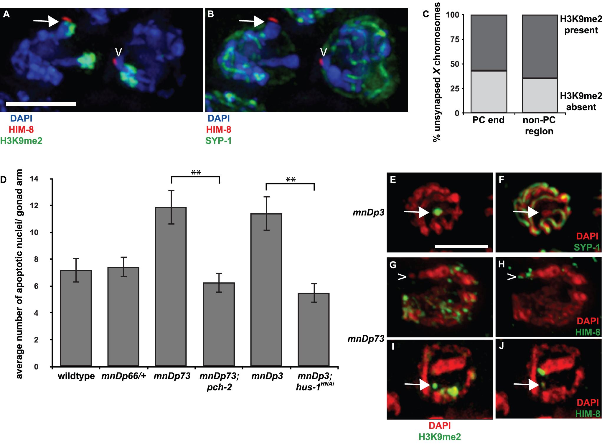A chromosomal duplication with Pairing Center activity often does not undergo heterochromatin assembly.