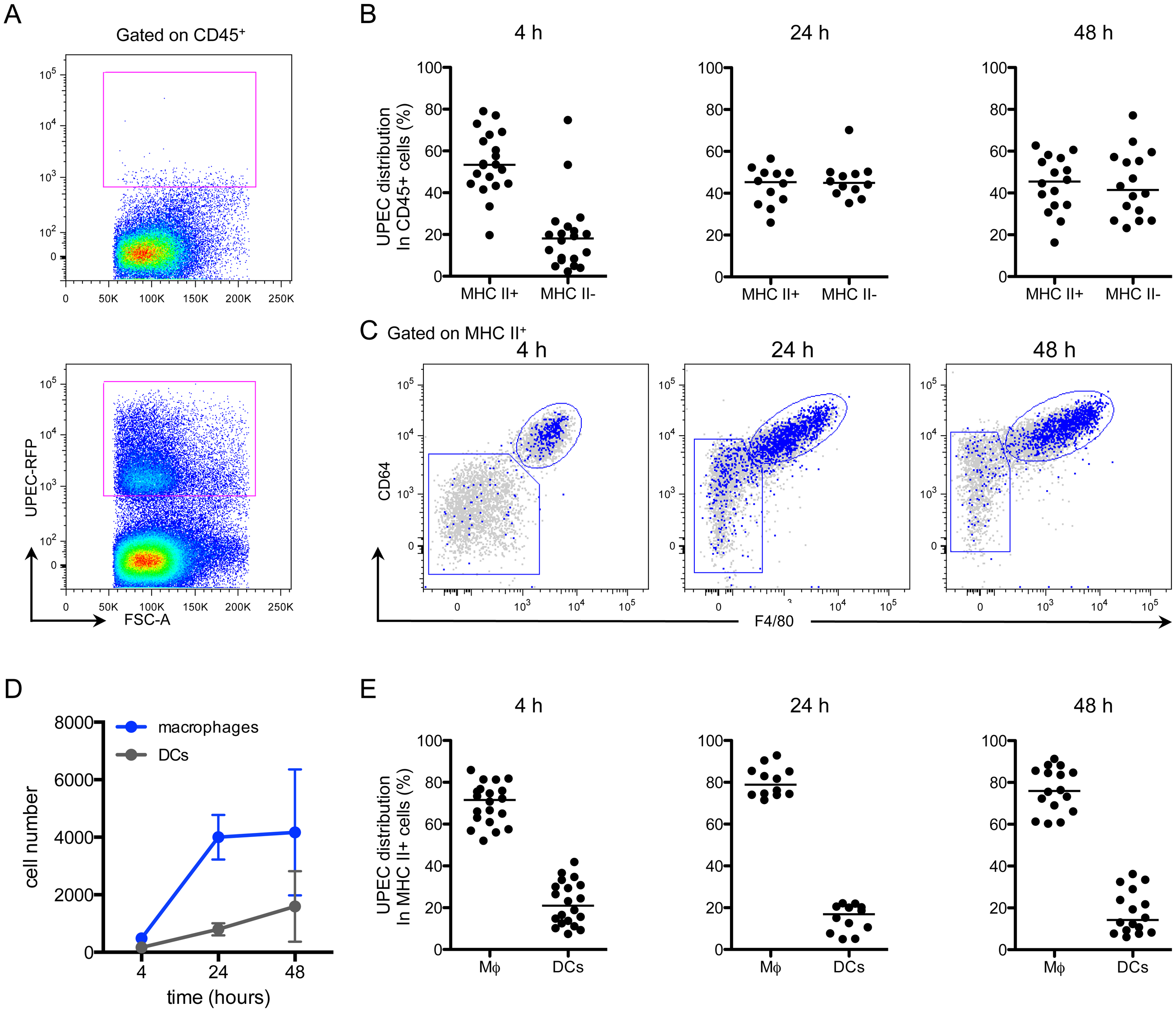 Macrophages preferentially take up UPEC at early times post-infection.