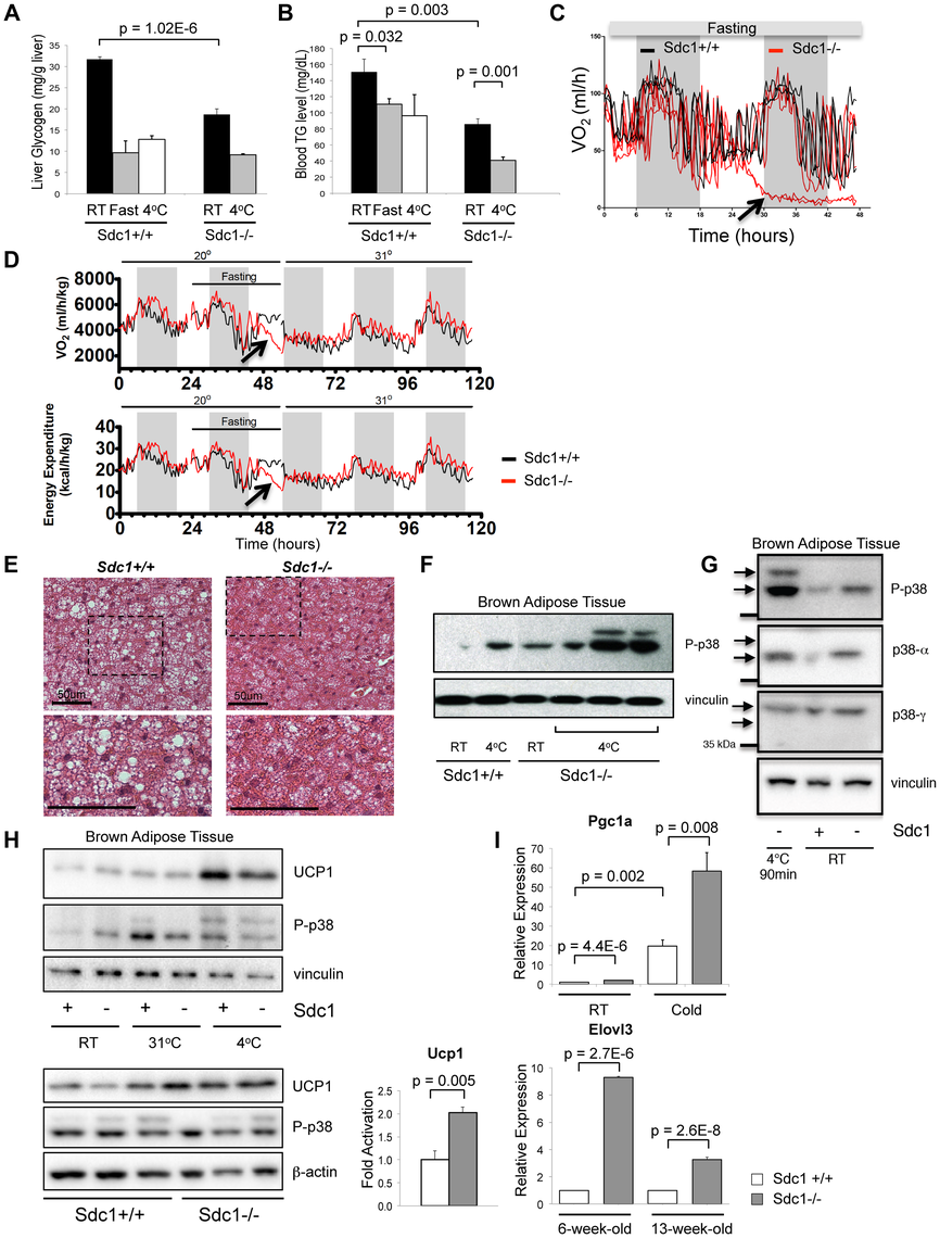 <i>Sdc1−/−</i> mice are chronically cold- stressed.