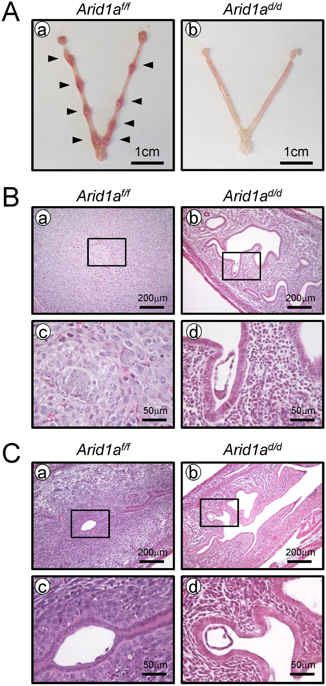A failure of implantation in <i>Arid1a</i><sup><i>d/d</i></sup> mice.