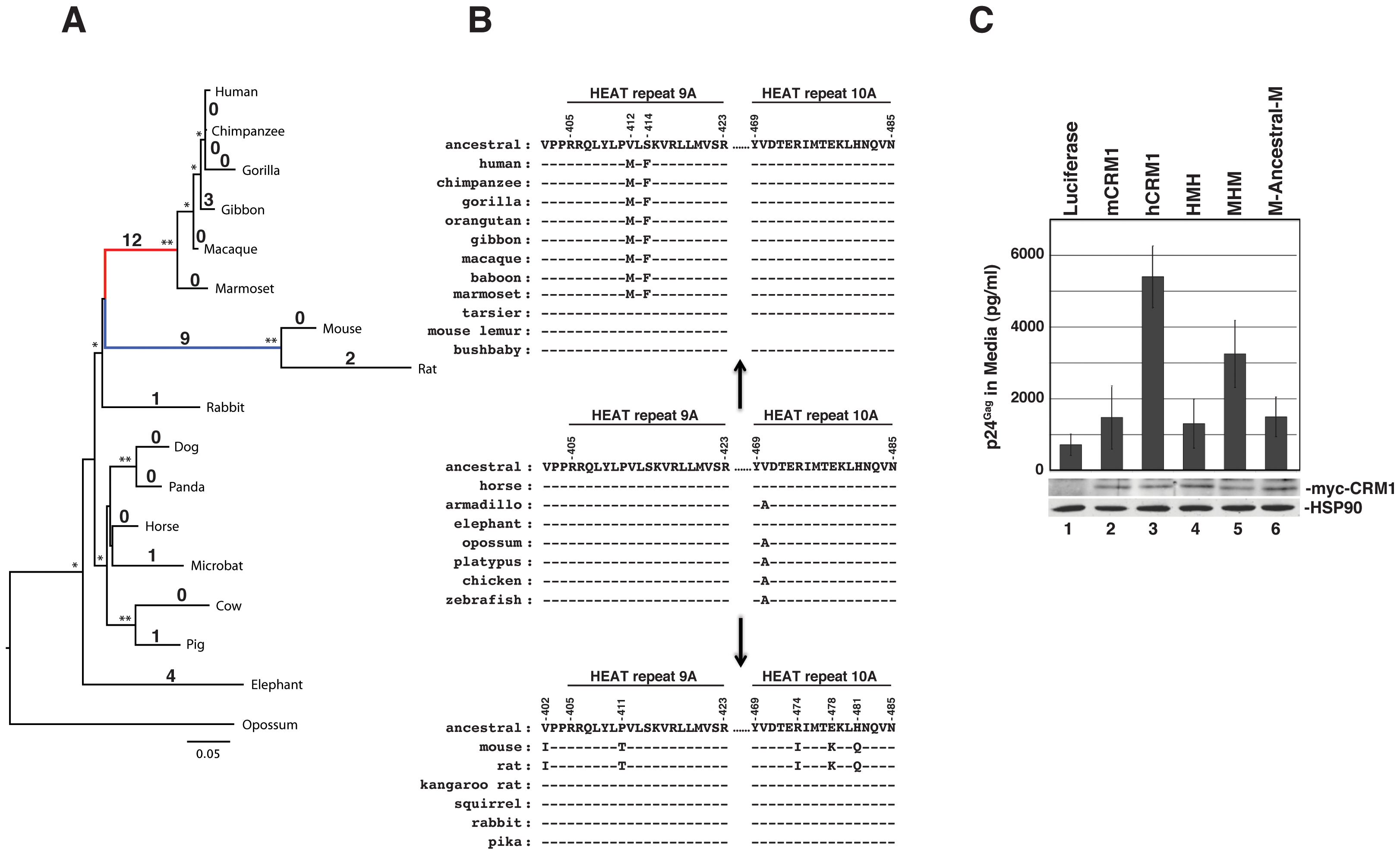 The hCRM1 stimulatory domain may be a specific adaptation of higher primates.