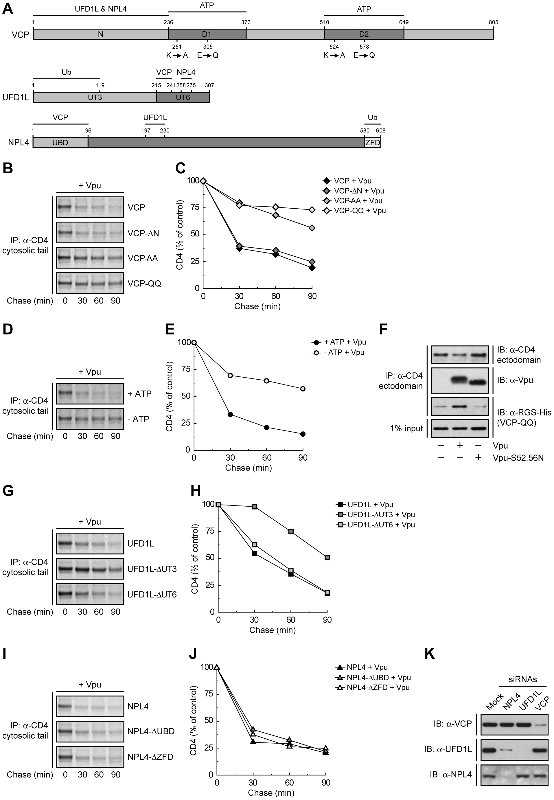 Specific functions for each member of the VCP-UFD1L-NPL4 complex in Vpu-mediated CD4 degradation.