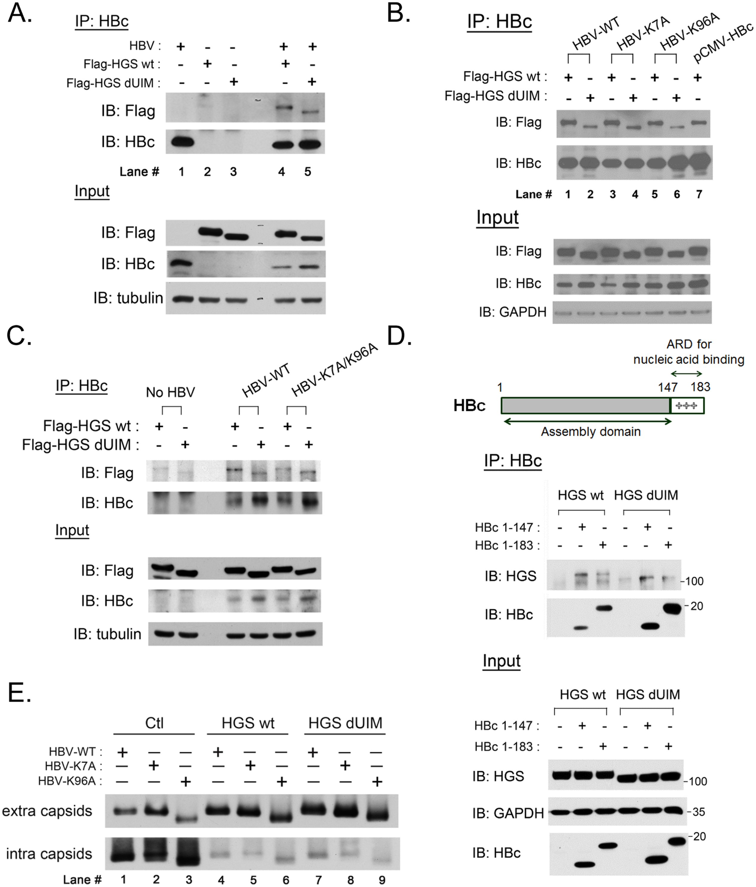 ESCRT-0 protein HGS associated with HBV core protein through an ubiquitin-independent recognition.