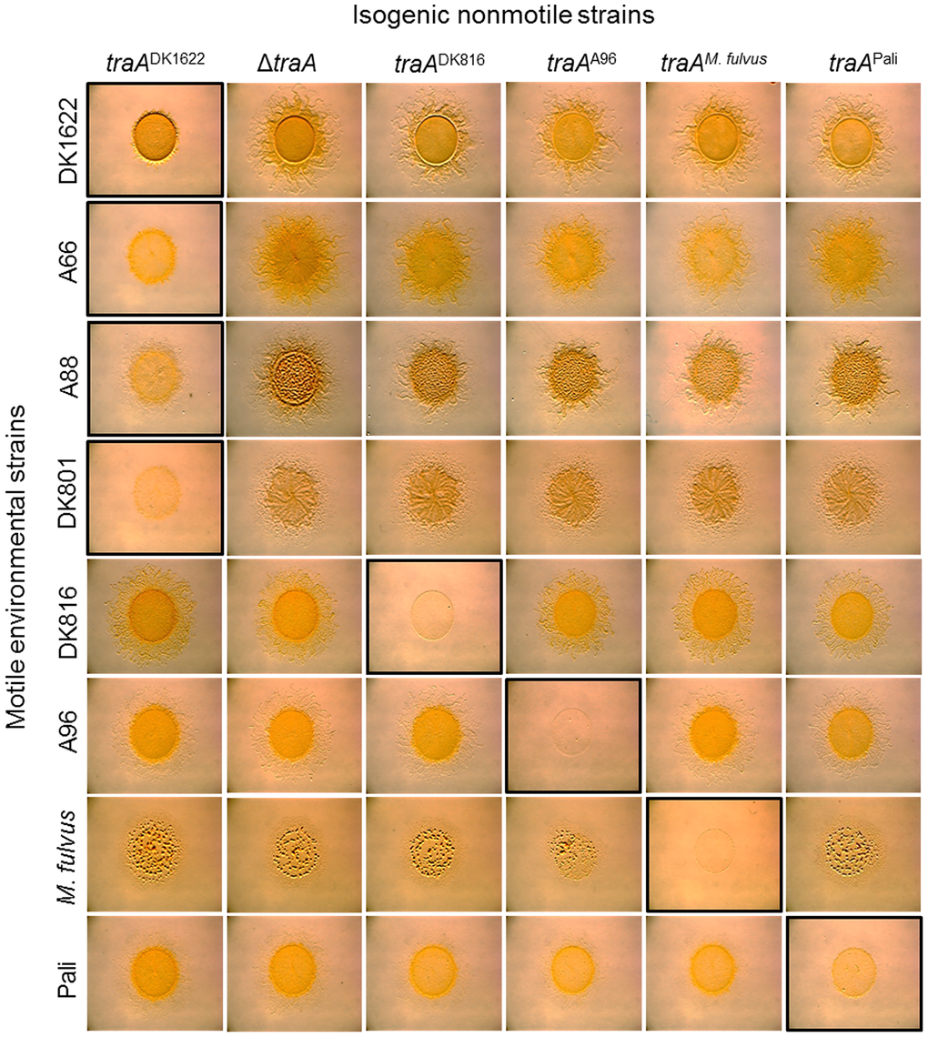 <i>traA</i> allele–specific regulation of swarming.