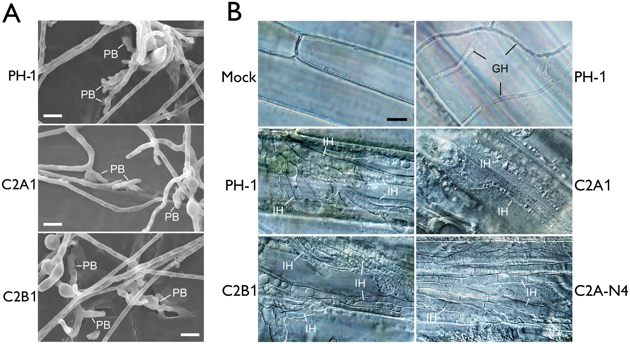 Assays for defects of the <i>cdc2A</i> and <i>cdc2B</i> mutant in plant infection and colonization.