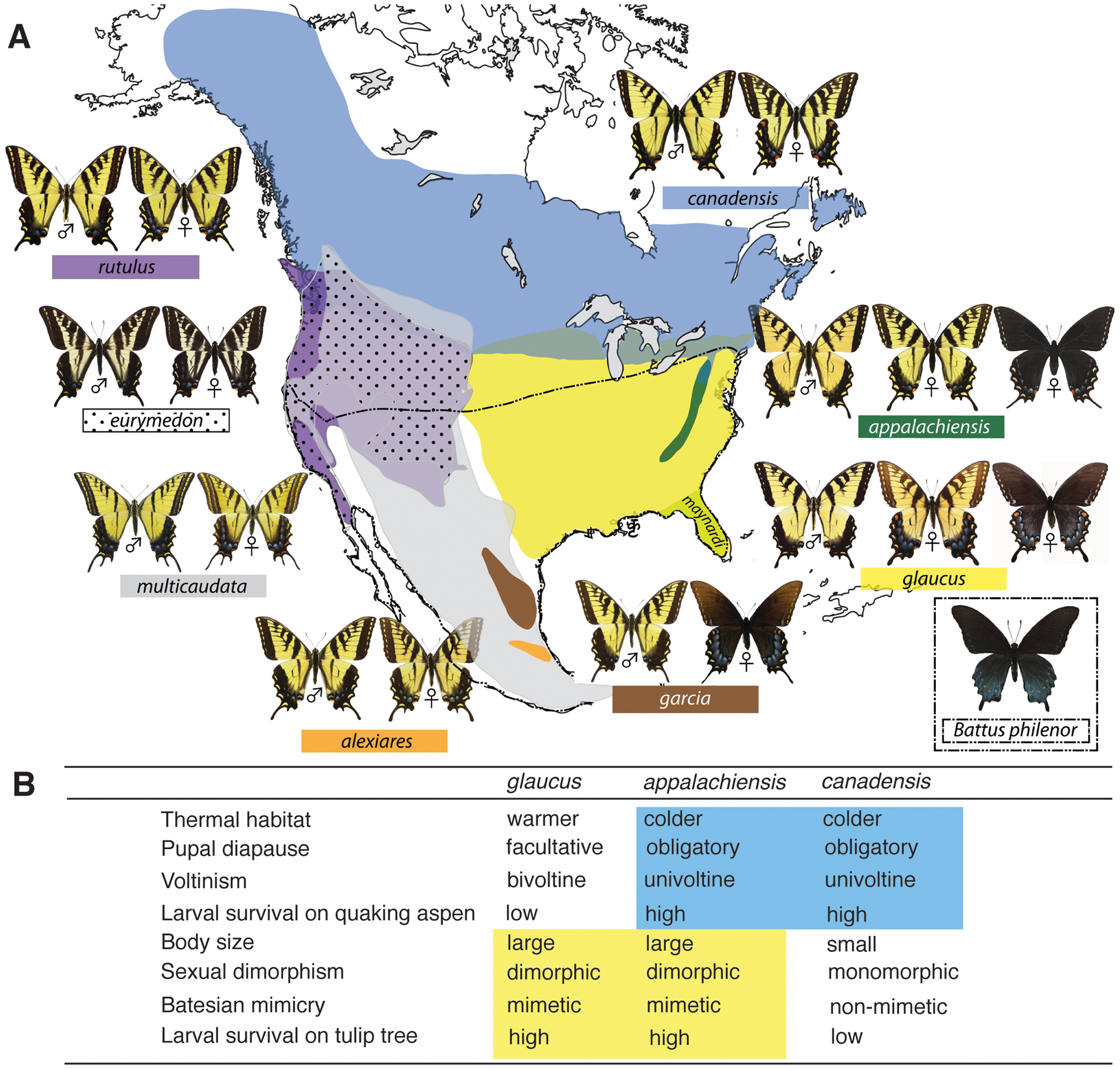 The distributional ranges and hybrid zones of tiger swallowtails, and the hybrid phenotype of <i>Papilio appalachiensis</i>.