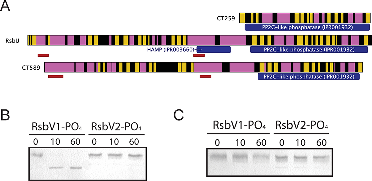Proteins containing putative PP2C-like phosphatase domains in <i>C</i>. <i>trachomatis</i>.