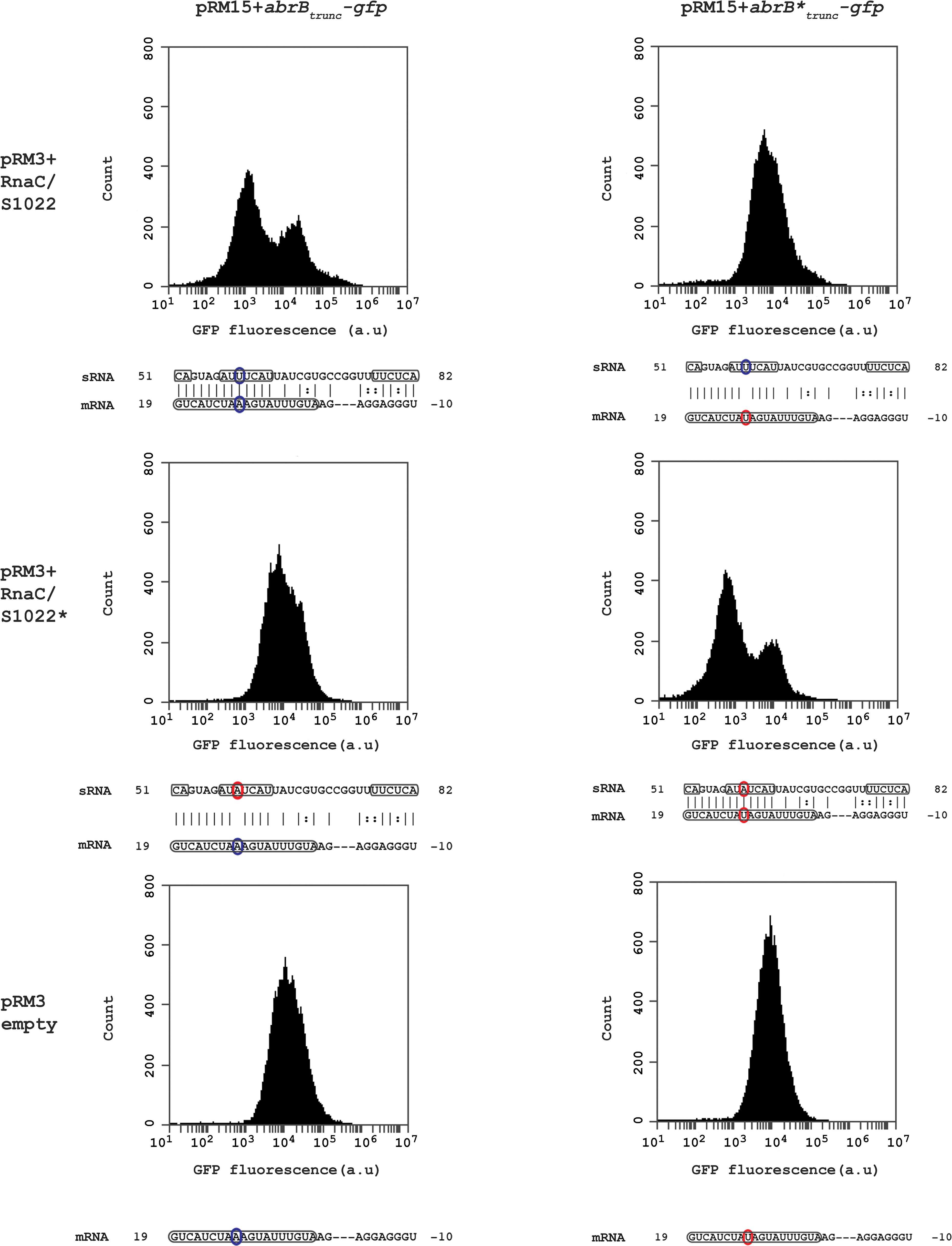 RnaC/S1022 regulates abrB by a direct mRNA-sRNA interaction.