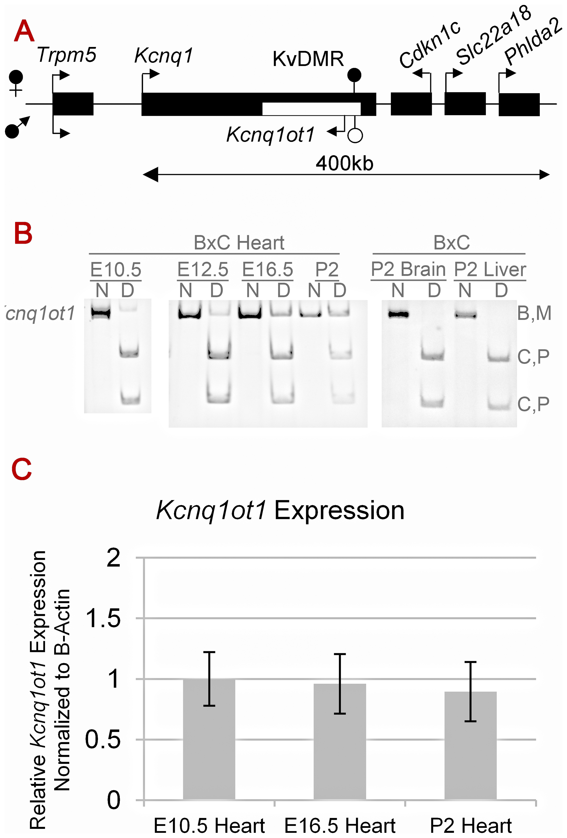 Cardiac expression profile of <i>Kcnq1ot1</i>.