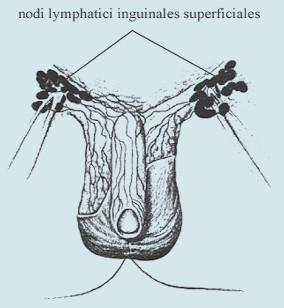 Drenáž lymfy z kožních obalů penisu (včetně předkožky).
