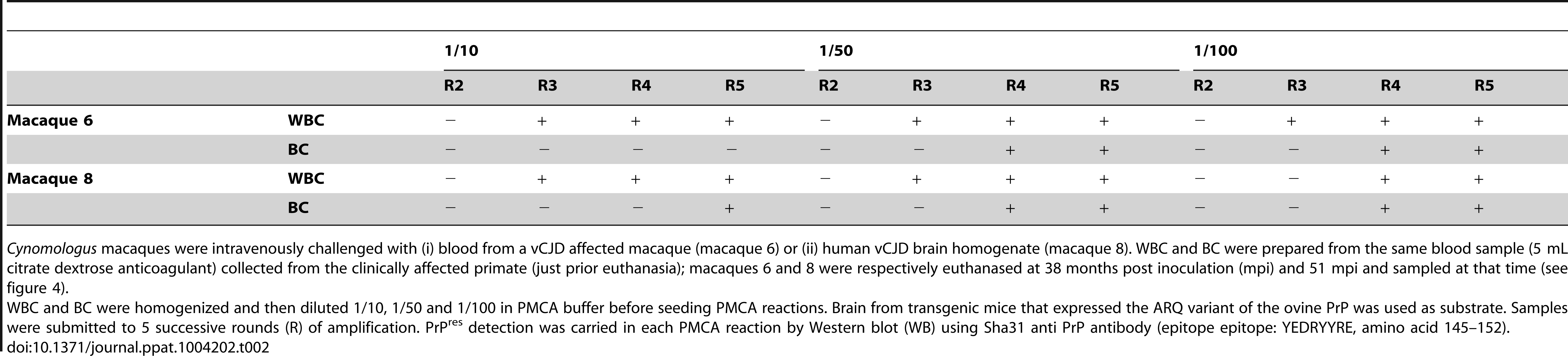 PrP<sup>res</sup> detection results in PMCA reactions seeded with white blood cells (WBC) or buffy coat (BC) from <i>Cynomologus</i> macaques clinically affected with vCJD.