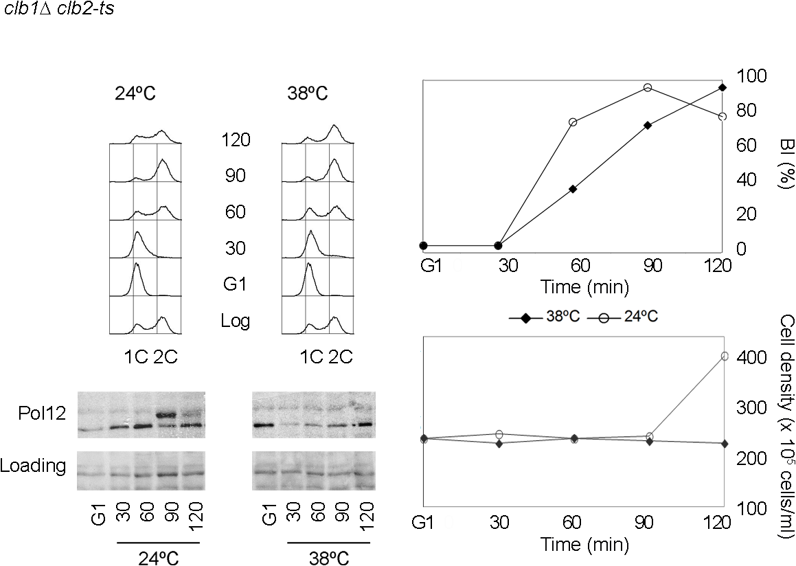 Pol12 is a <i>bona fide</i> specific M-CDK substrate that can be used to monitor M-CDK activity <i>in vivo</i>.