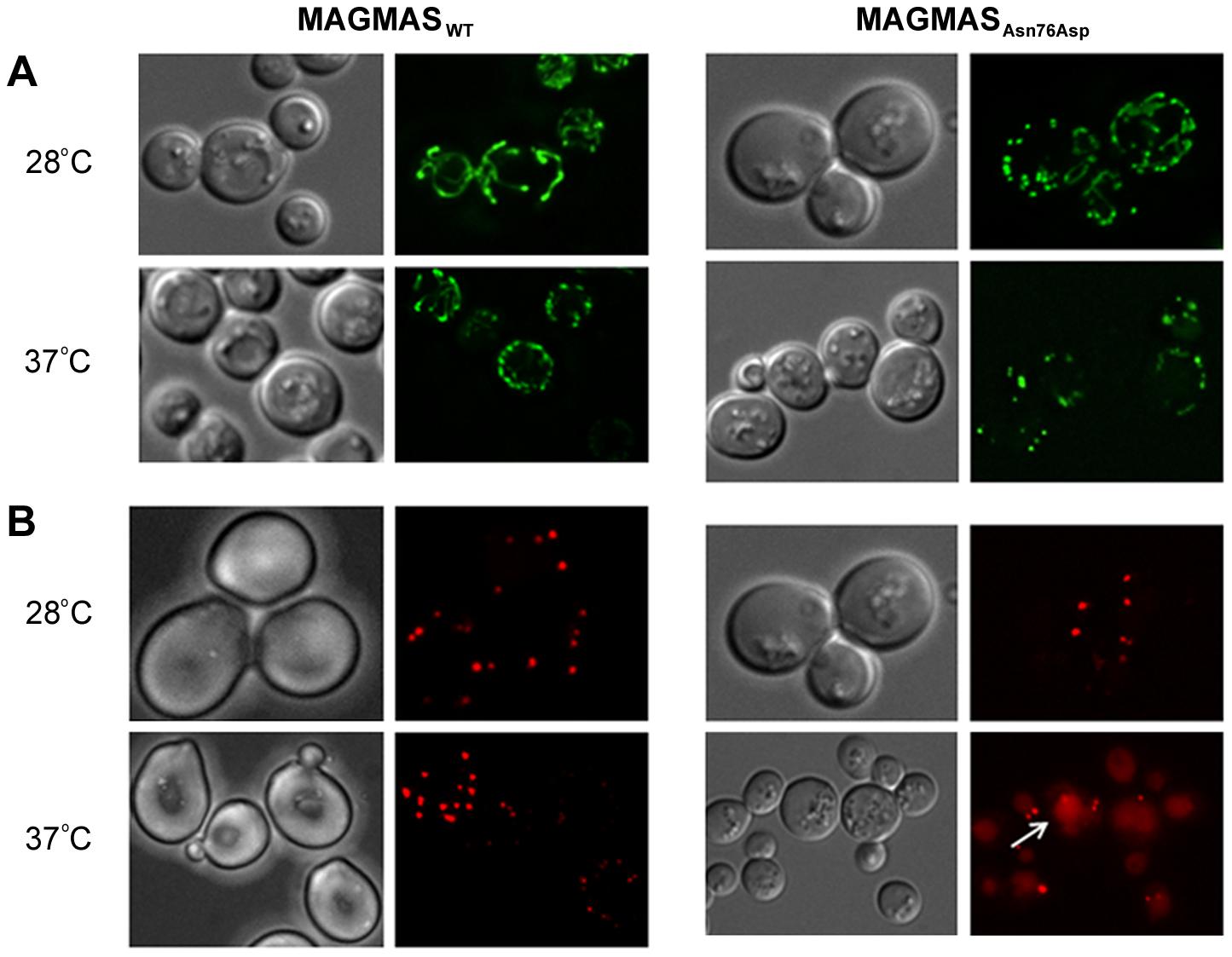 Morphological defects of the yeast <i>MAGMAS</i> mutant strain.