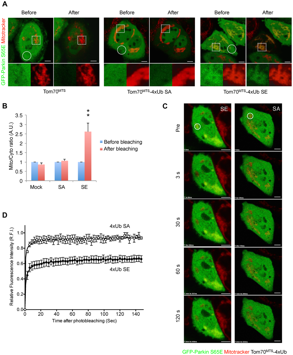Mitochondrially targeted phospho-mimetic 4× Ub anchors Parkin.