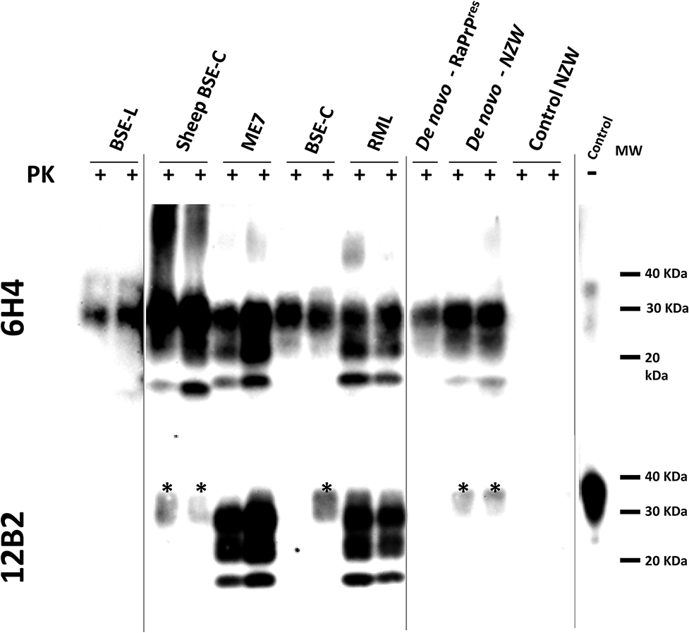 Biochemical analysis of brain homogenates from <i>TgRab</i> mice inoculated with different prion strains.