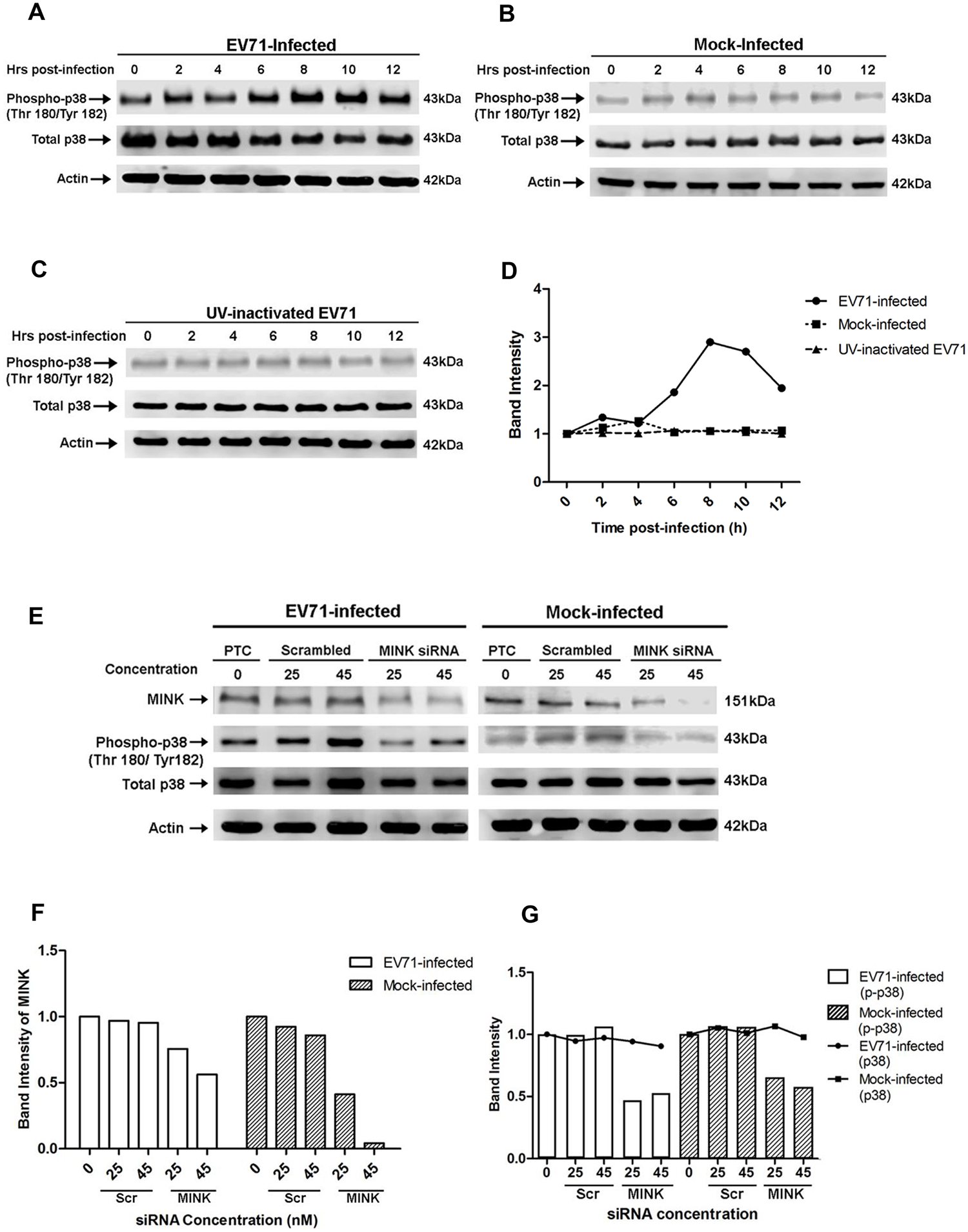 EV71 infection triggers p38 MAPK phosphorylation downstream of MINK.