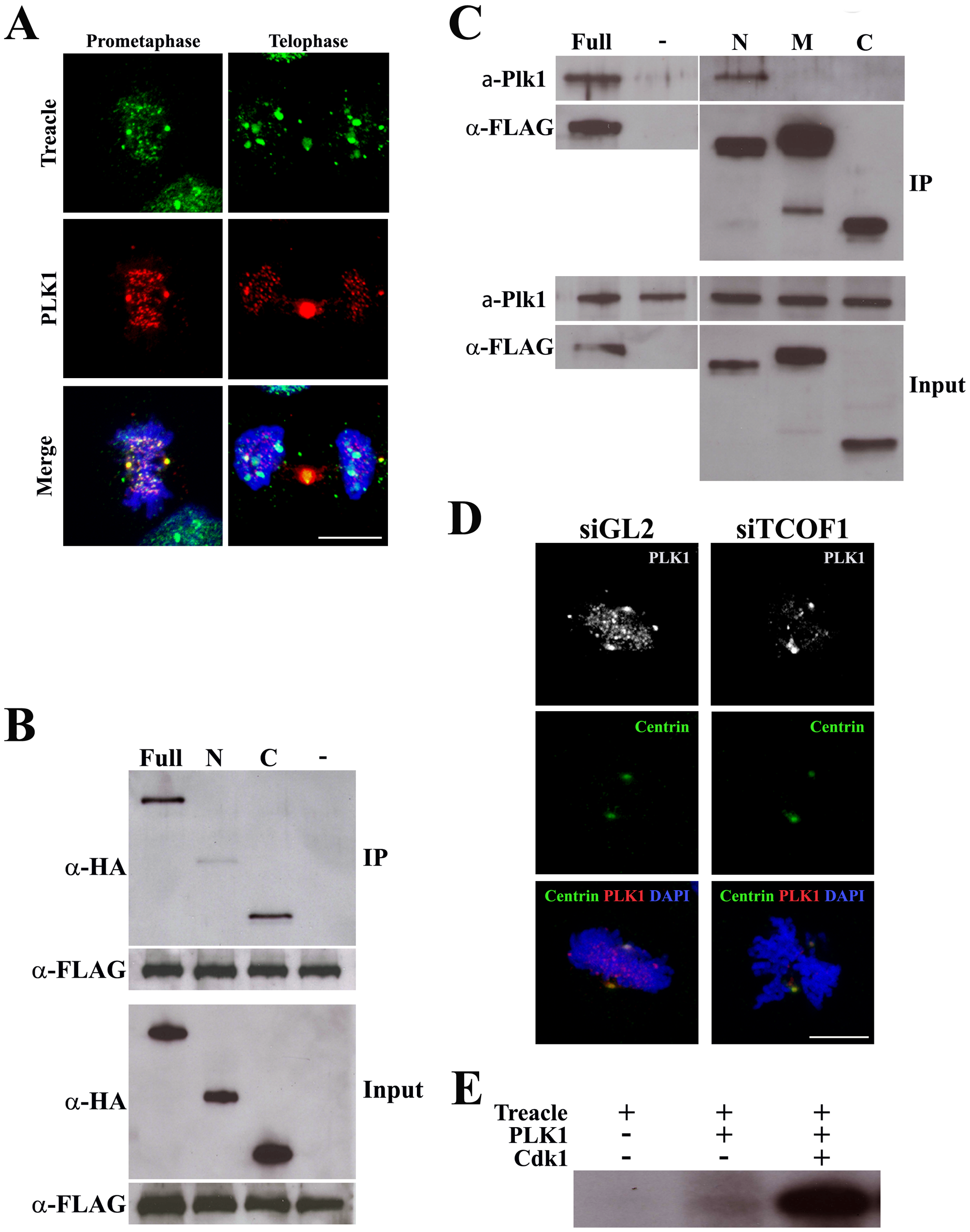 Treacle interacts with PLK1 and mediates its localization.