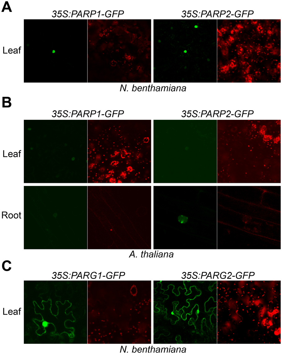 Subcellular localization of Arabidopsis PARP1/2 and PARG1/2.