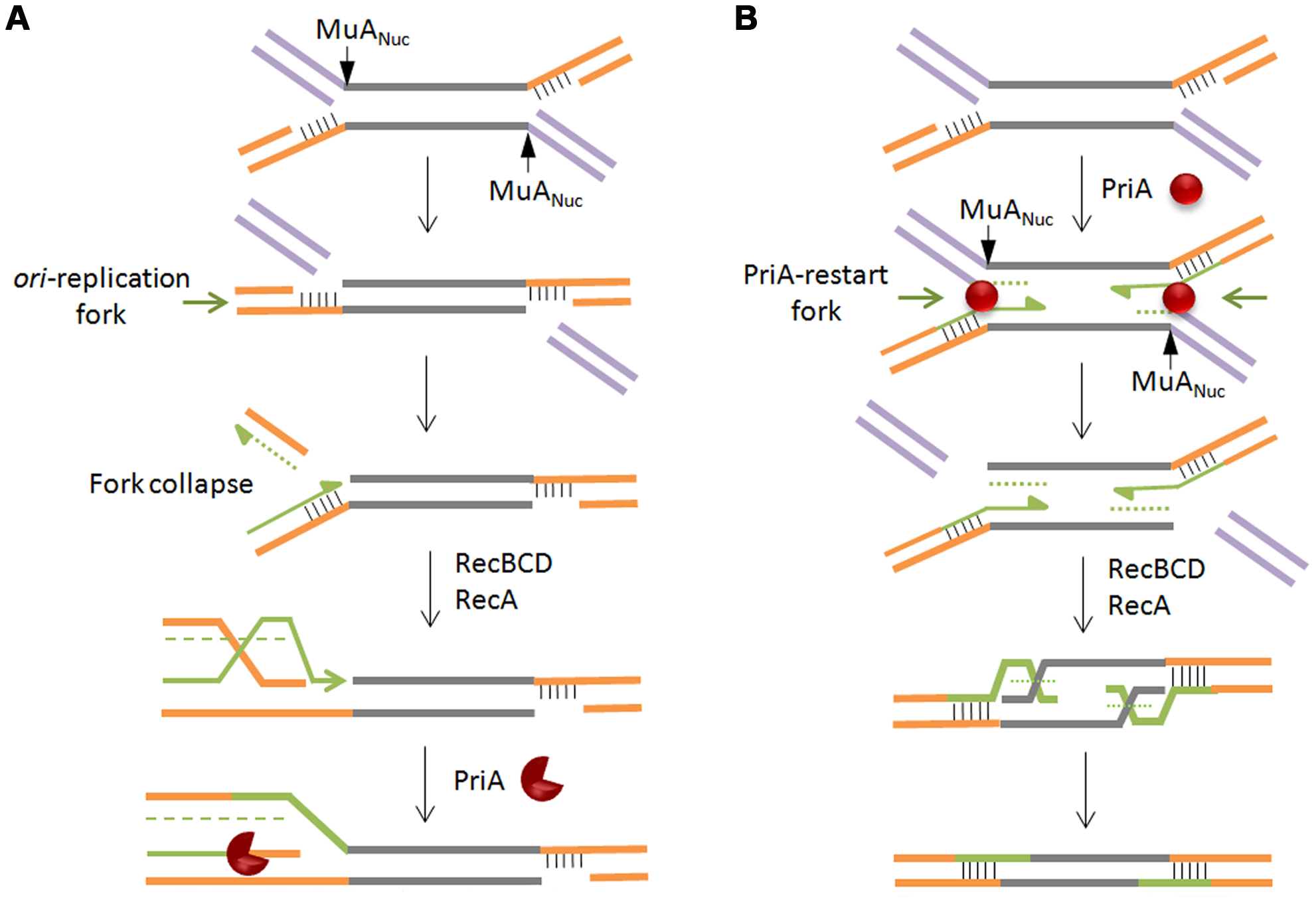 Models for recombinational repair of Mu insertions in the non-replicative pathway.