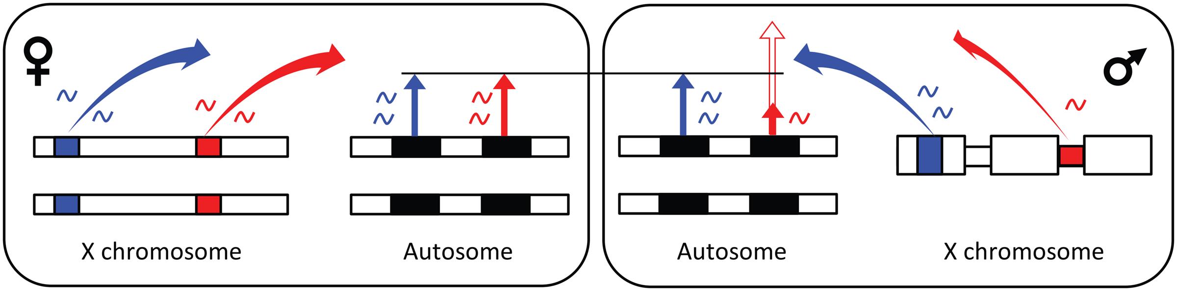 Model for X-linked <i>trans</i>-regulation of sex-biased gene expression.