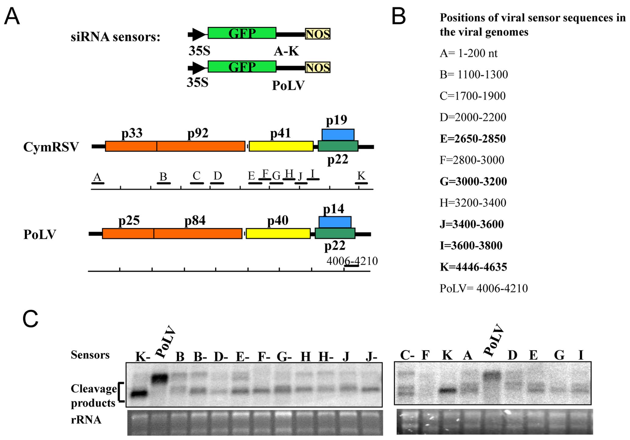 Functional analysis of vsiRNAs <i>in planta</i>.