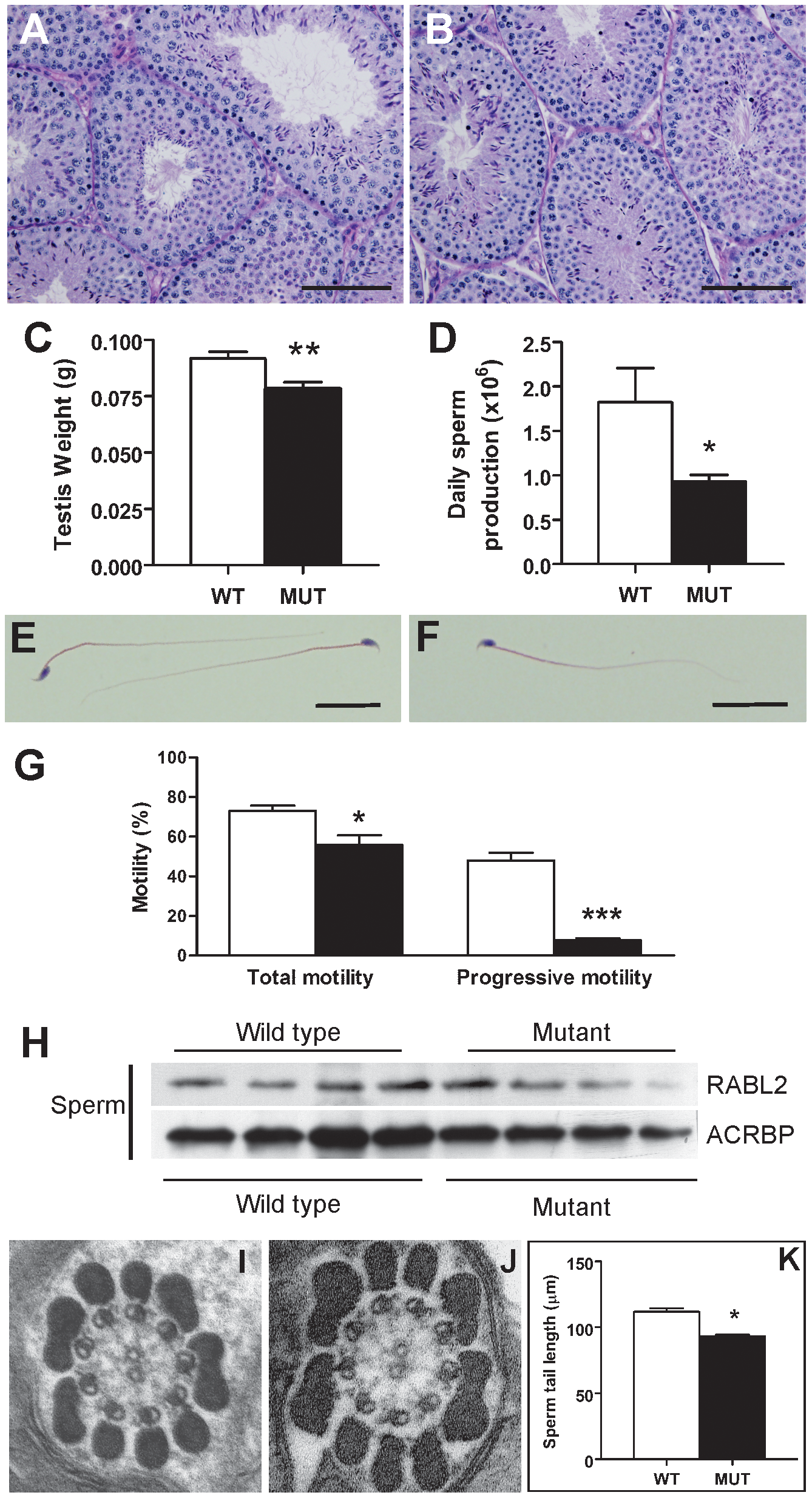 The sterility phenotype observed in <i>Rabl2<sup>Mot/Mot</sup></i> males.
