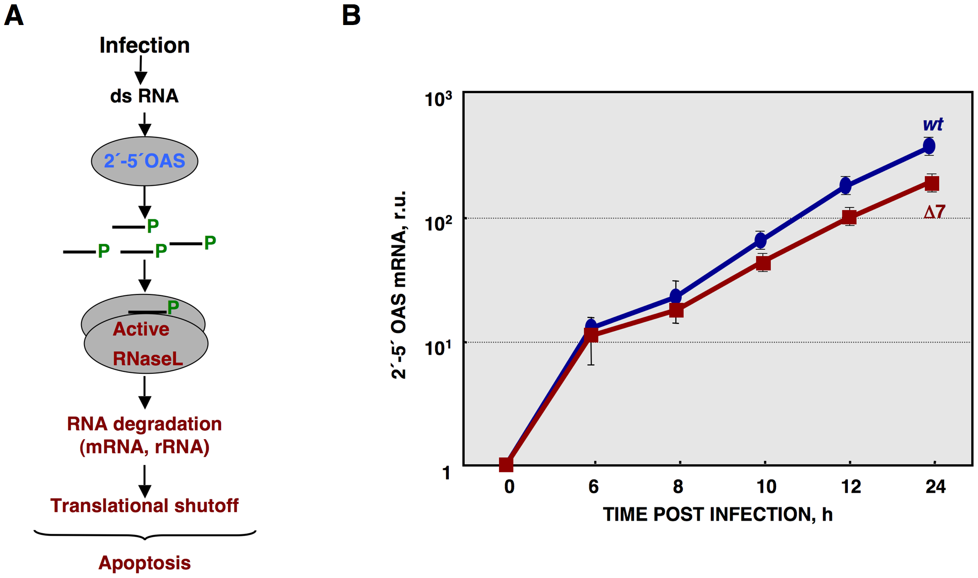 Quantification of 2′-5′OAS expression during rTGEV infection.