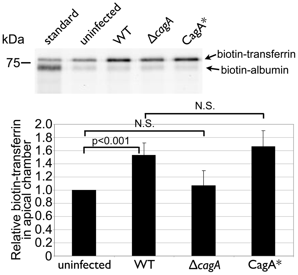<i>Hp</i> colonization of the cell surface leads to transferrin transcytosis.