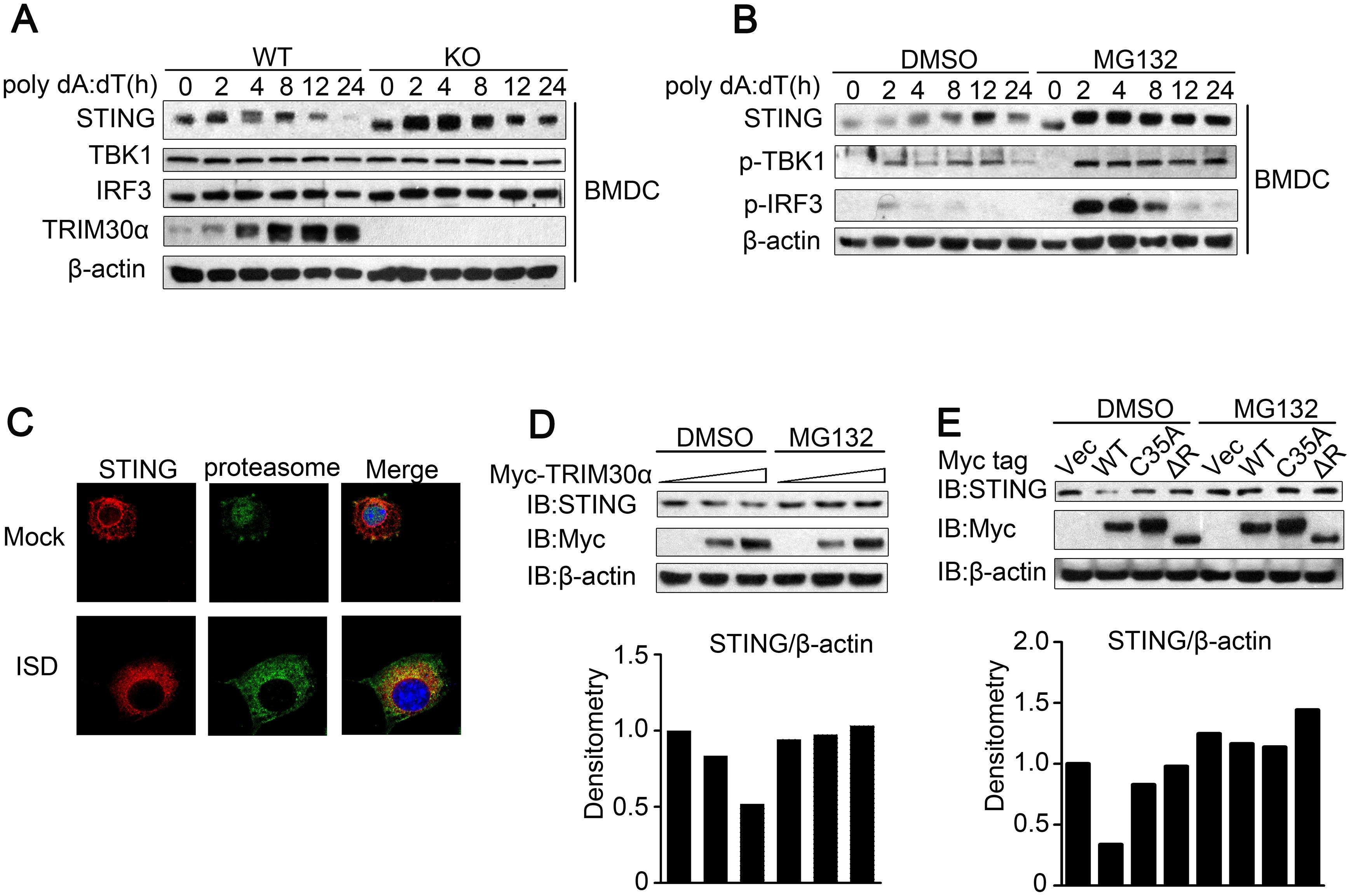 TRIM30α enhances the degradation of STING.
