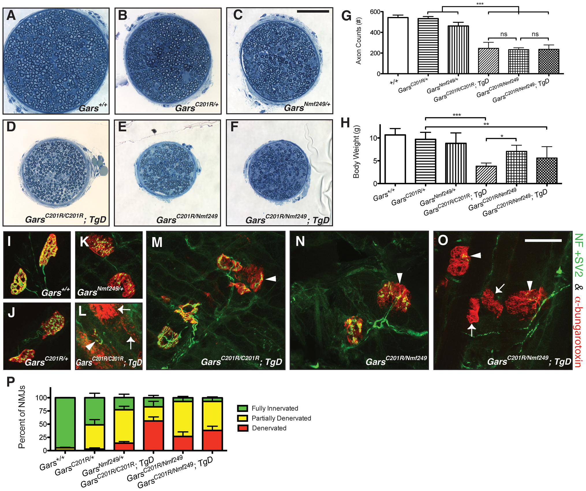 Increased dosage of mutant <i>Gars</i> increases the severity of neuropathy, but wild-type over-expression only improves viability in homozygous <i>C201R</i> mice.